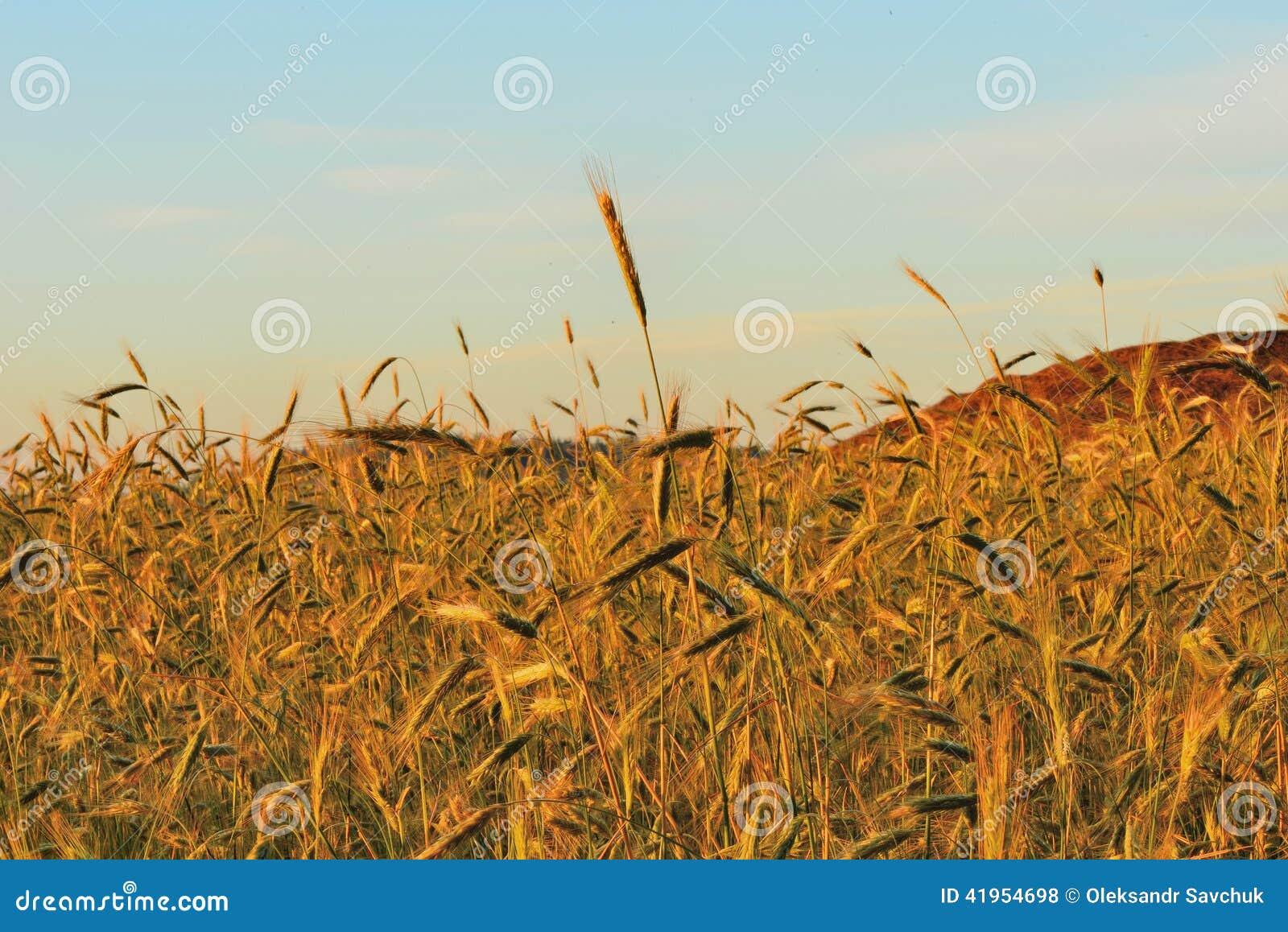 ?wit w pszenicznym polu