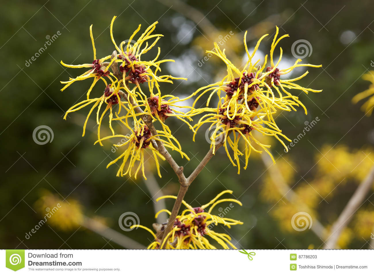 Witch Hazel Flowers Stock Image Image Of Natural Flower 87786203