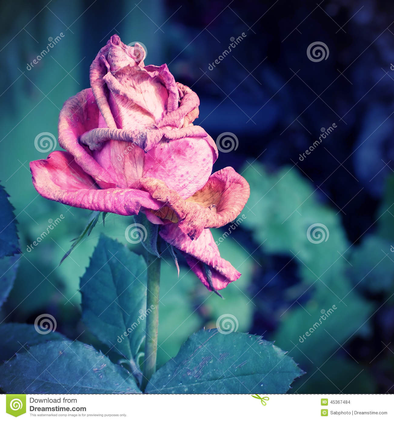 Wither Rose