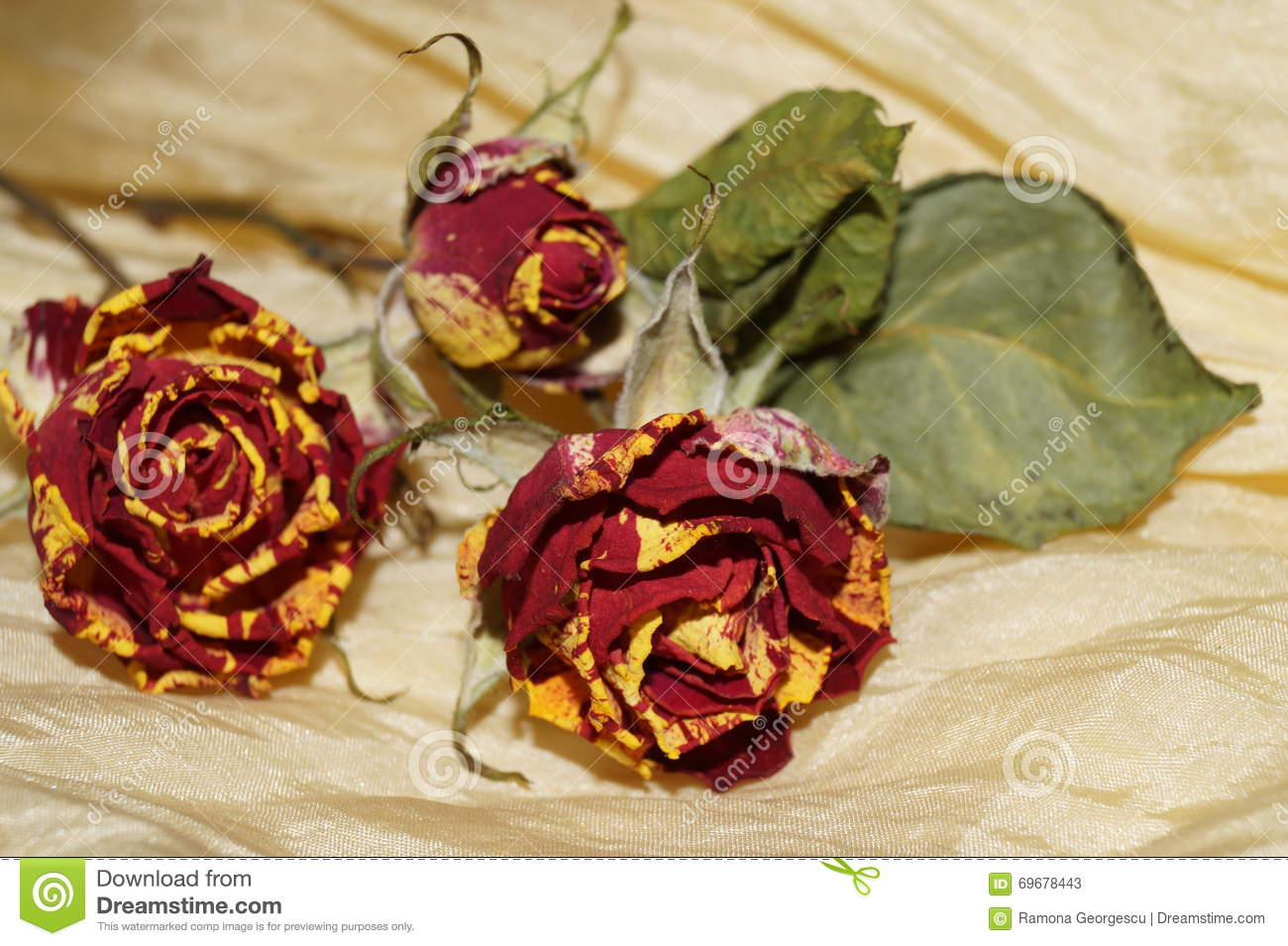 Wither roses on yellow silk stock photo image 69678443 for Natural rose colors