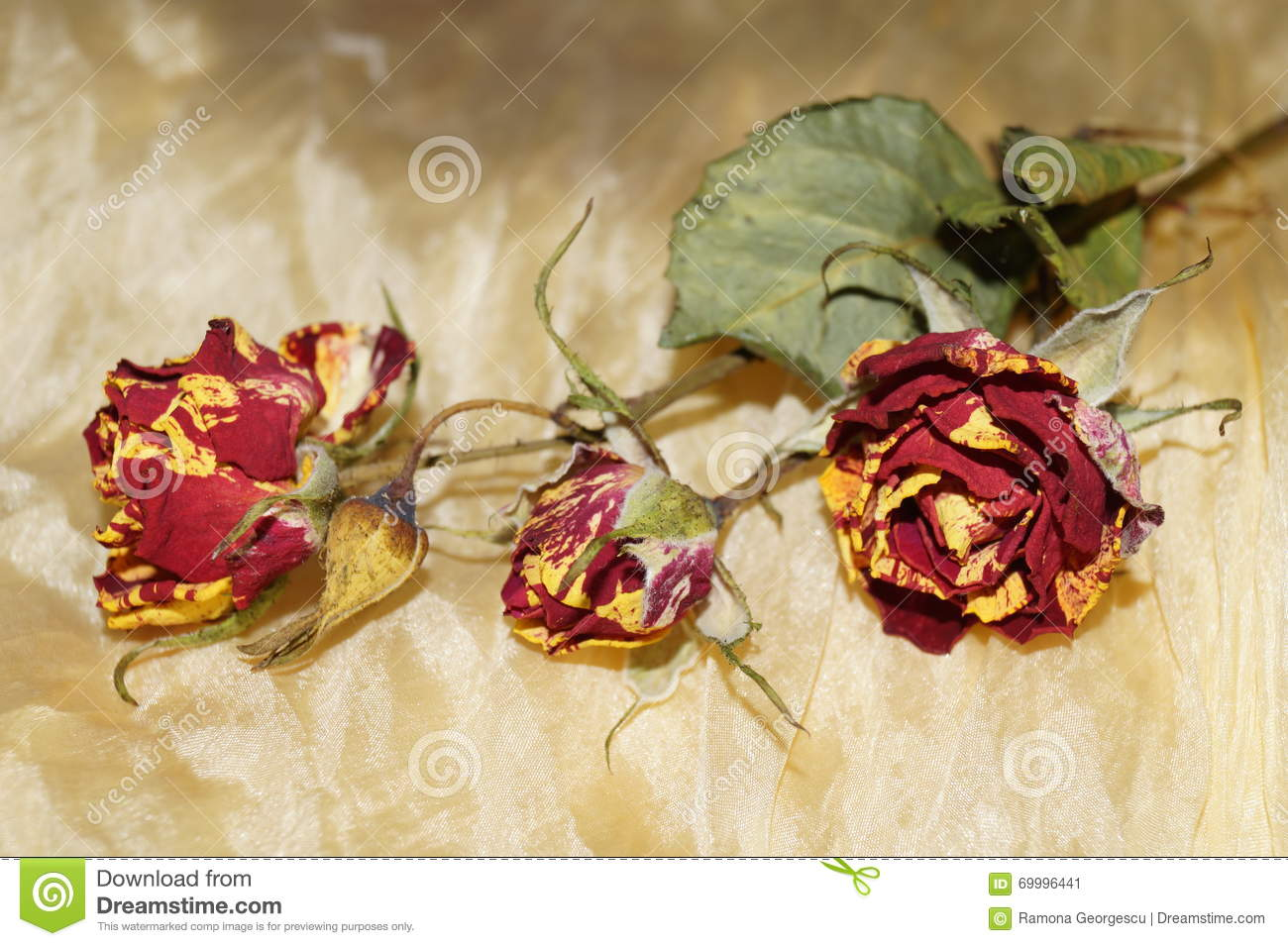 Wither roses on yellow silk stock photo image 69996441 for Natural rose colors