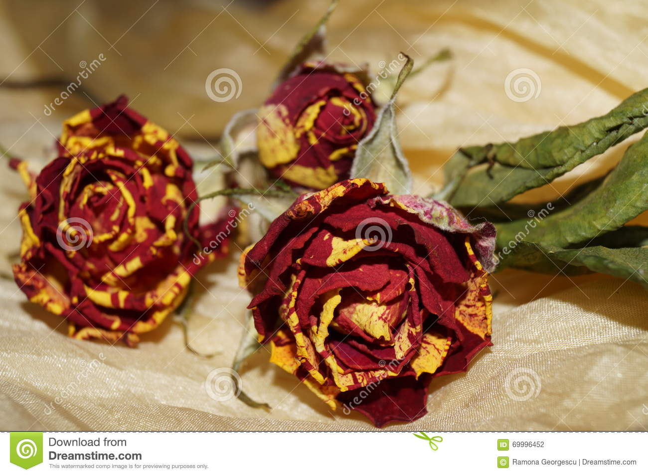 Wither roses on yellow silk stock photo image 69996452 for Natural rose colors