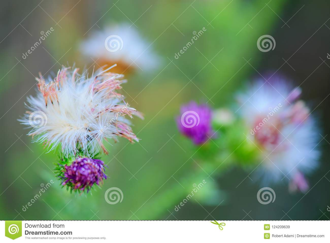 Withered flowers on thistle close up stock image image of blurred withered and falling thistle flowers taken at dusk in the meadow mightylinksfo