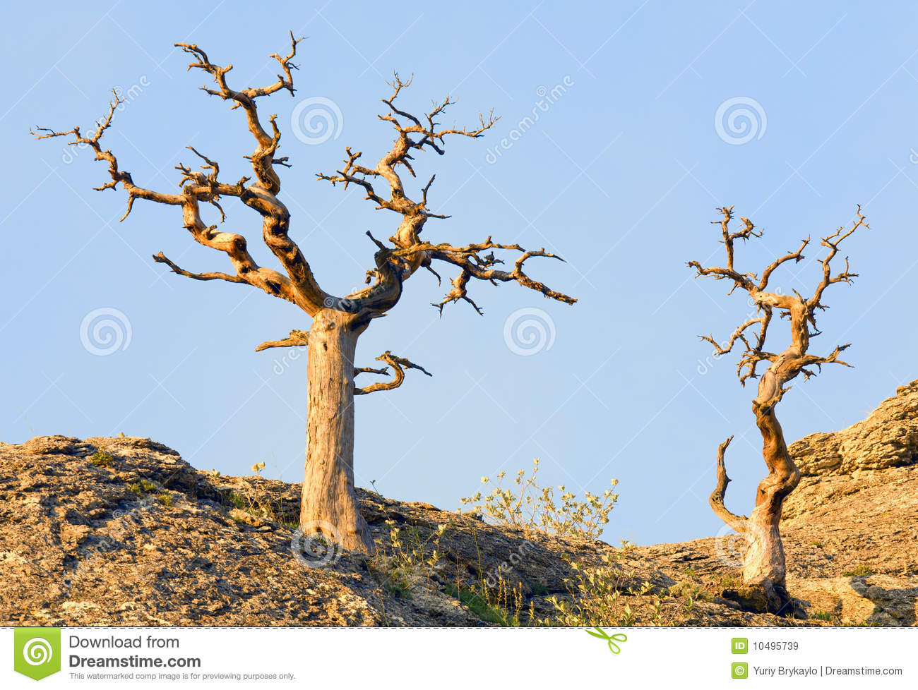 Withered Juniper Tree Royalty Free Stock Images - Image ...
