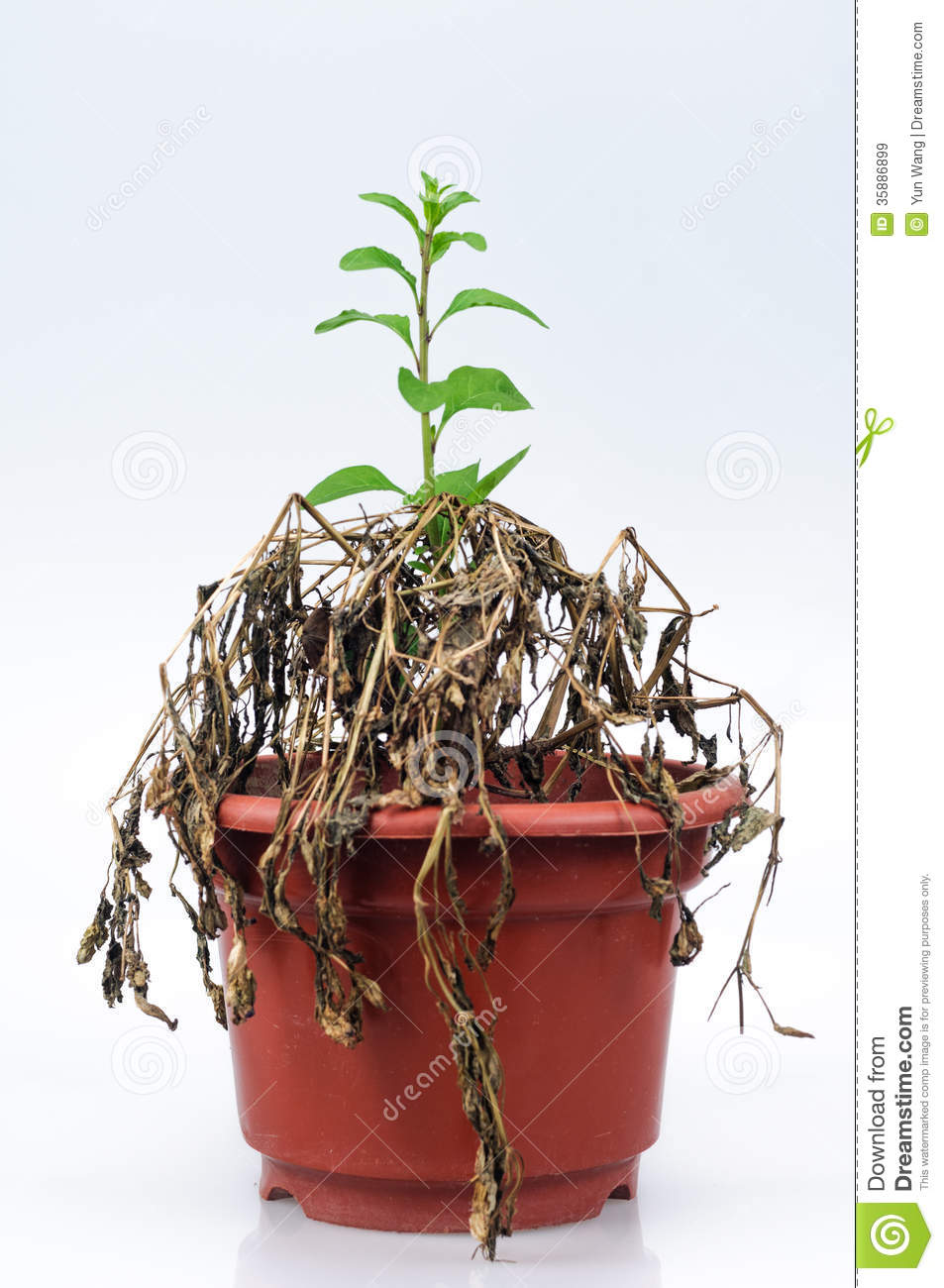 Withered Plants Royalty Free Stock Images Image 35886899