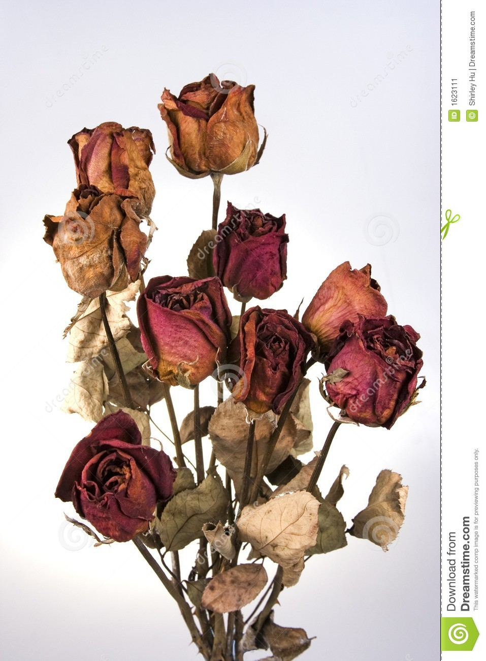 withered red rose stock image image 1623111