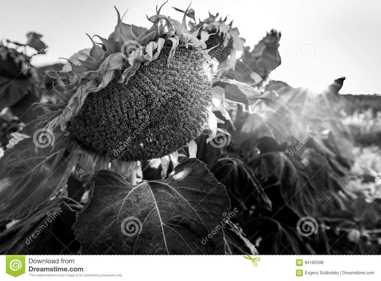 Withered sear sunflowers field colorful vivid sunset sundown beams rays black and white bw monochrome