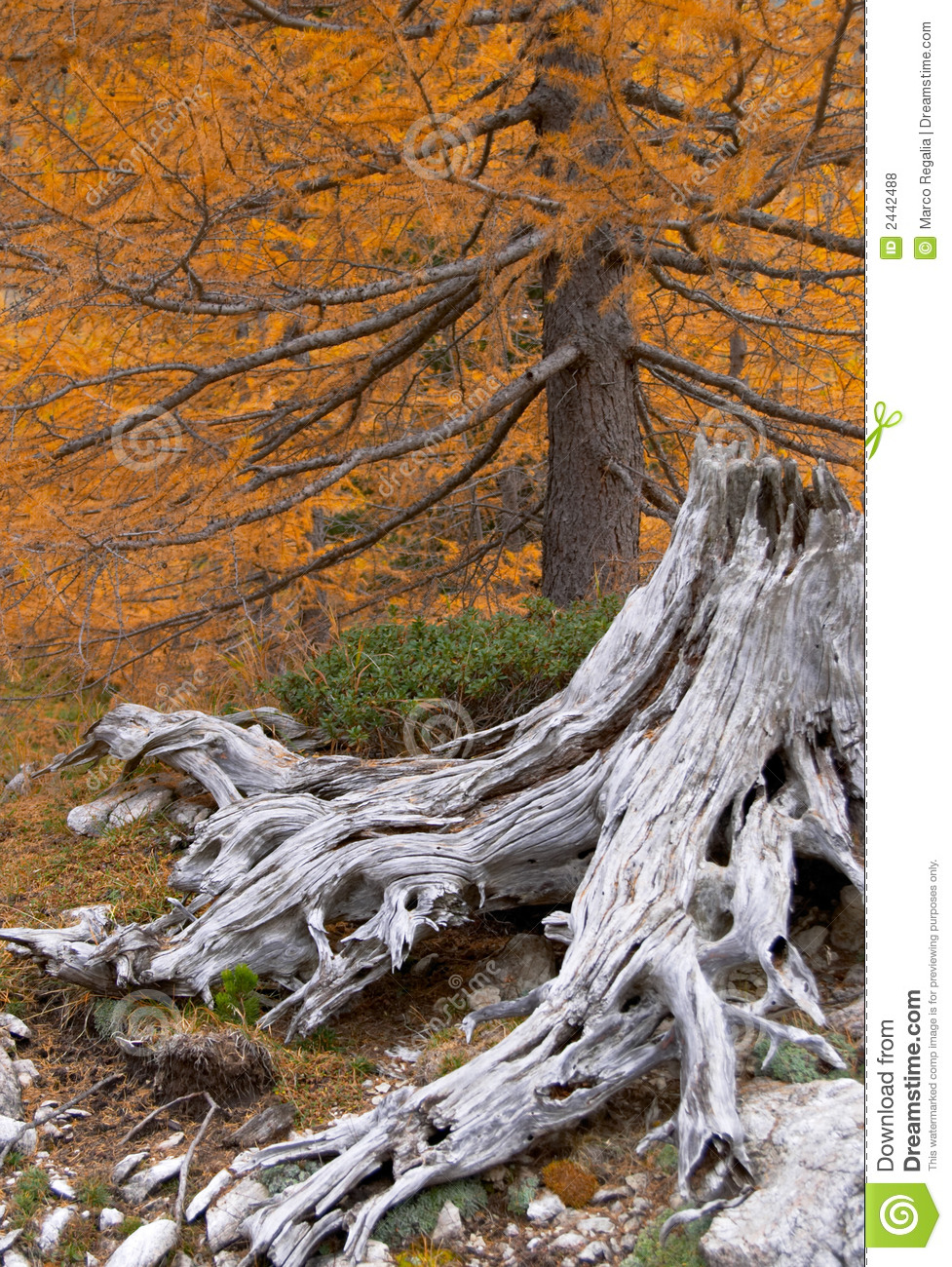 Withered Tree Stump Royalty Free Stock Photos - Image: 2442488