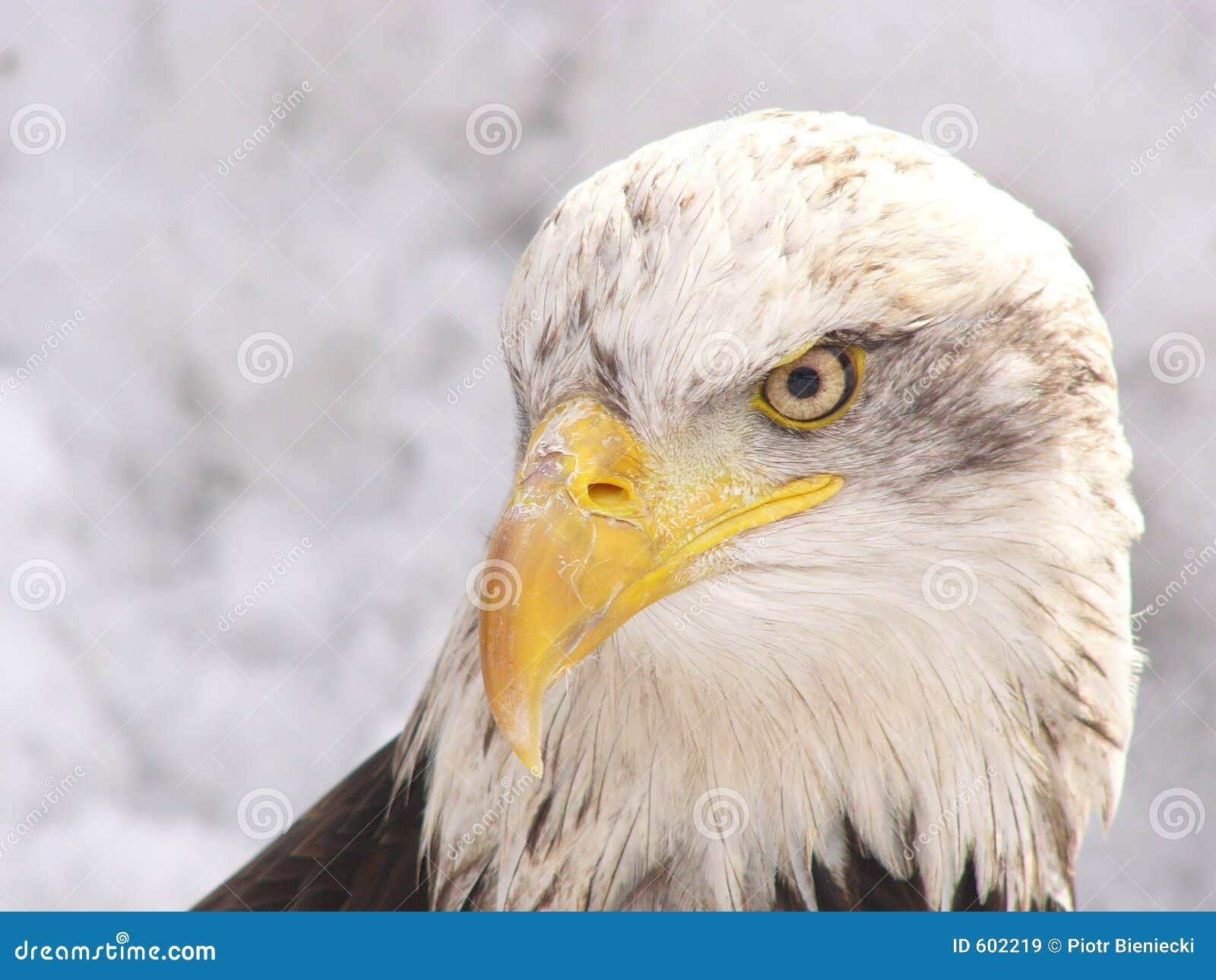 Witte adelaar