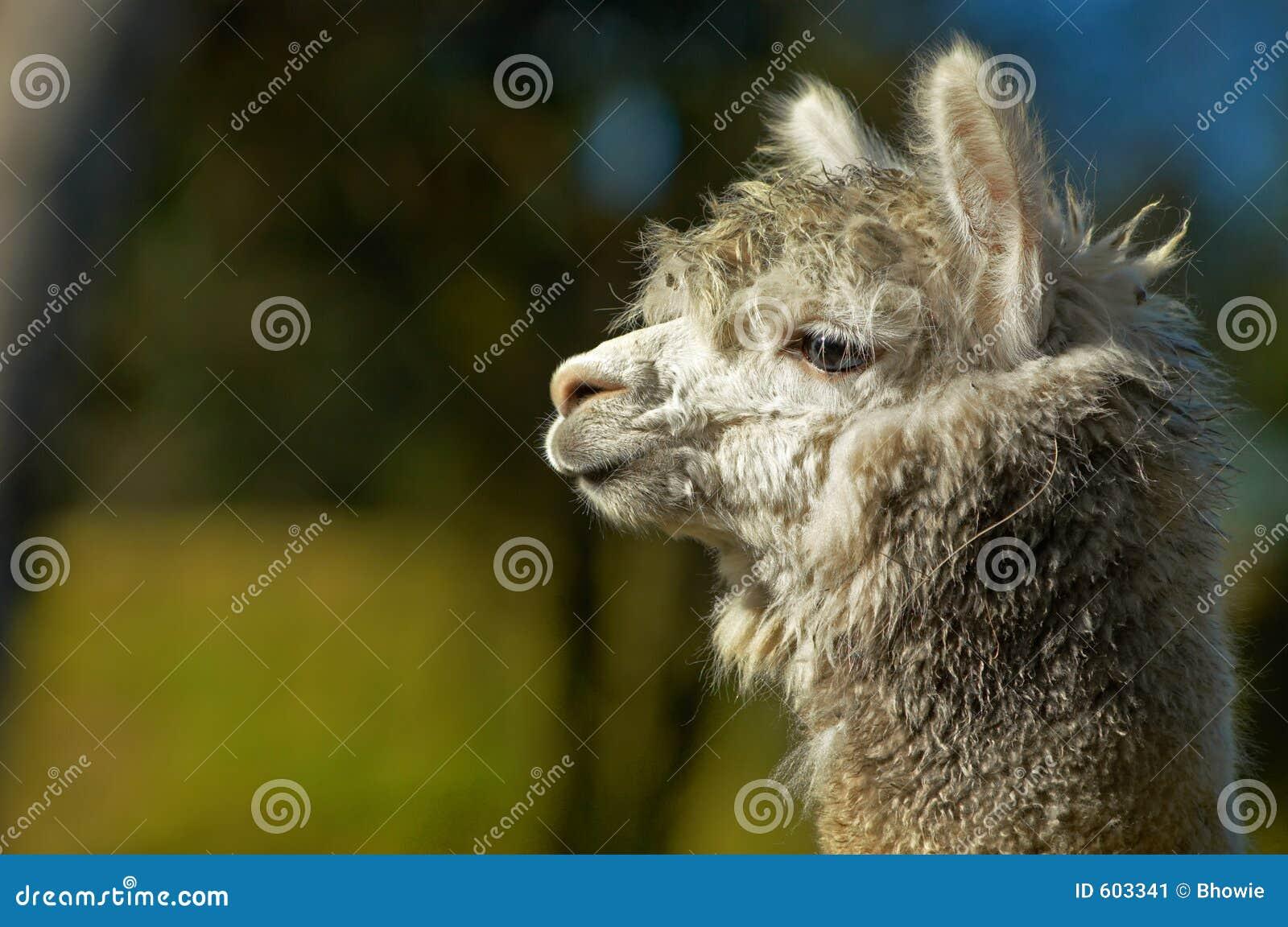 Witte alpaca