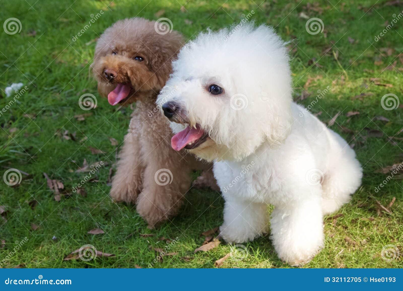Caniche Dog Hair Name