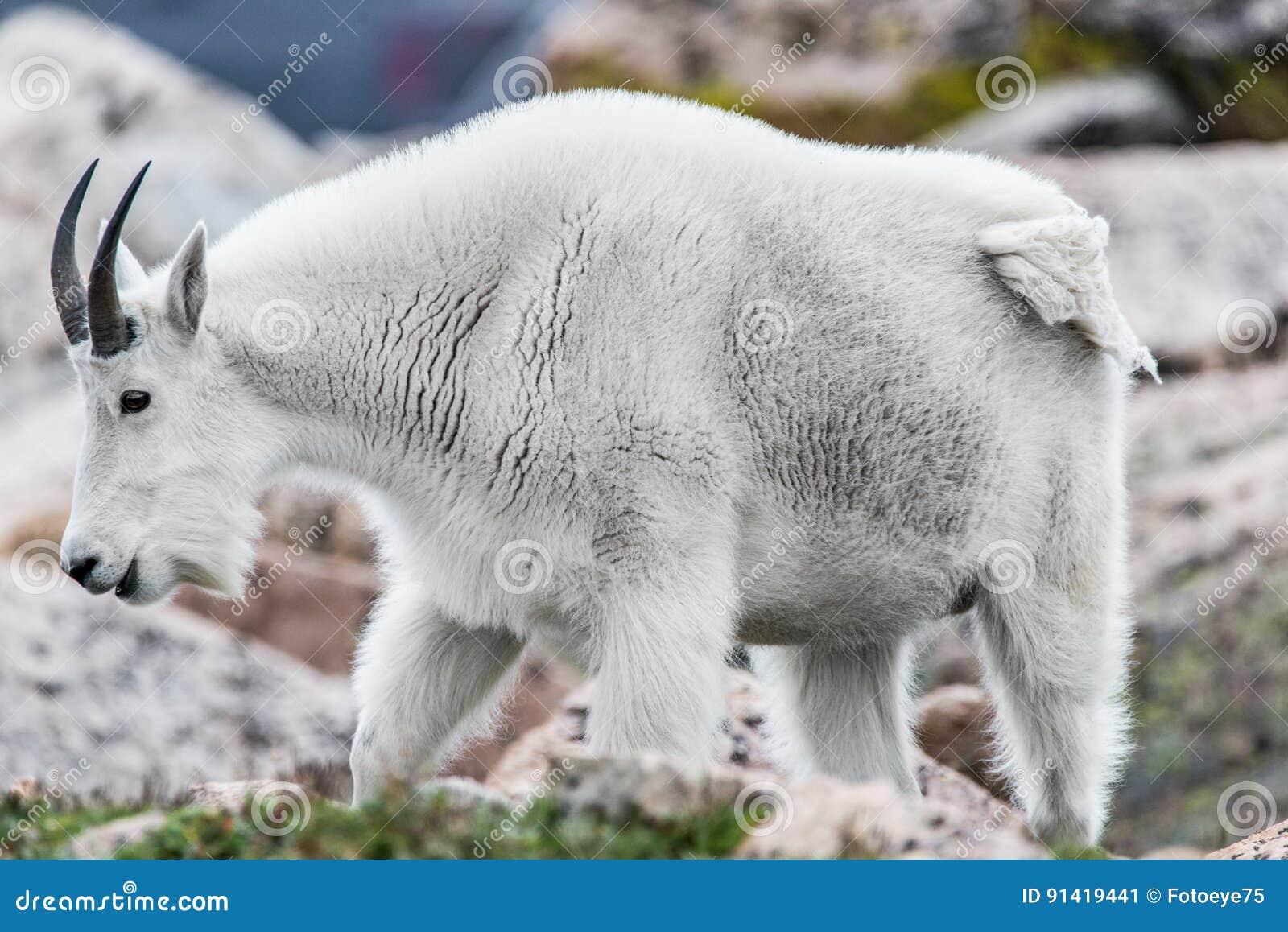 Witte Big Hornschapen - Rocky Mountain Goat