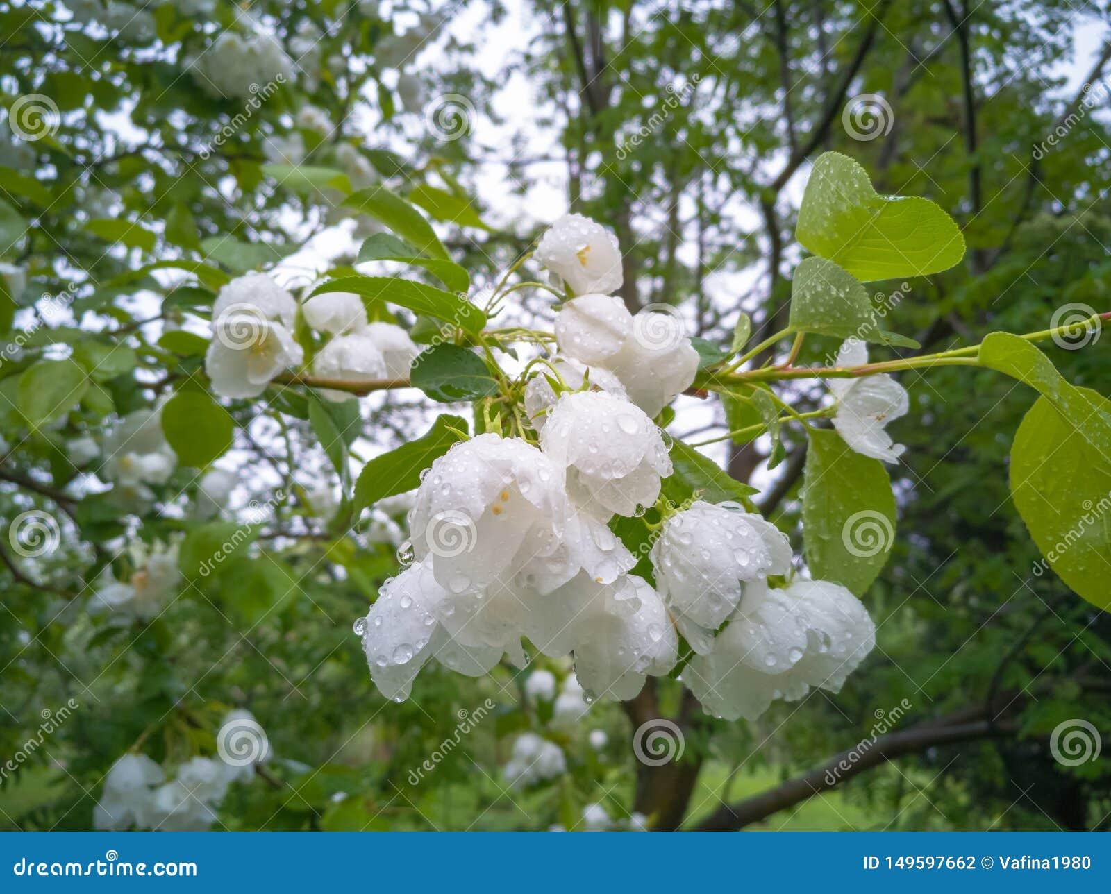 Witte bloeiende appelbomen