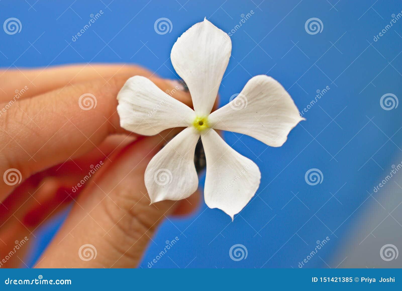 Witte bloem in de hand van een meisje in de tuin met mooie blauwe bacbaachtergrond
