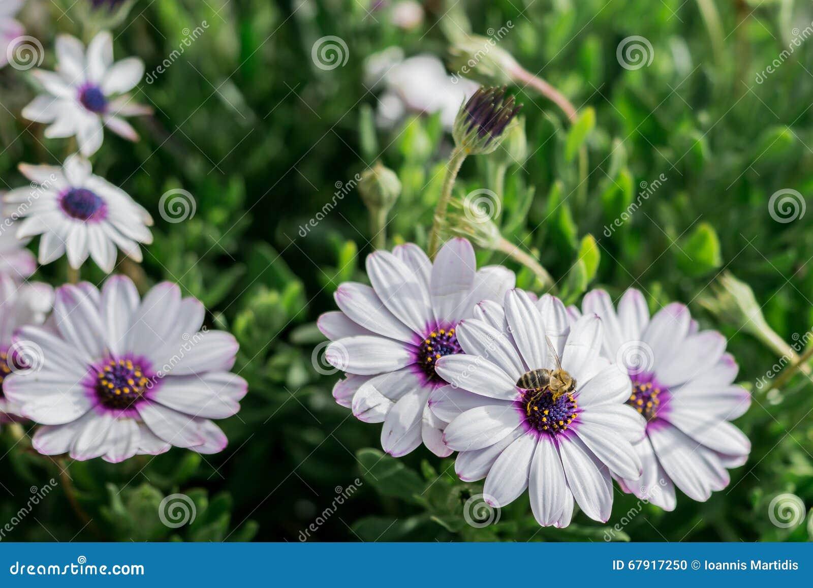 Witte Bloemen En Een Bij, Kamillegras, De Lente In Griekenland ...