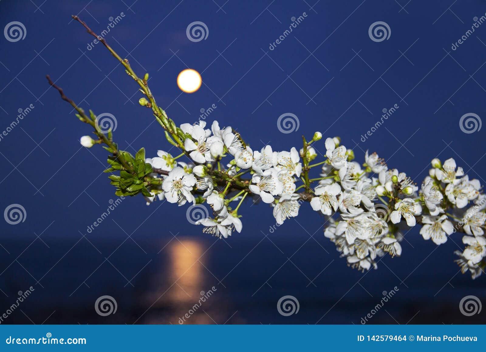 Witte bloemen op een tak bij het toenemen van de maan