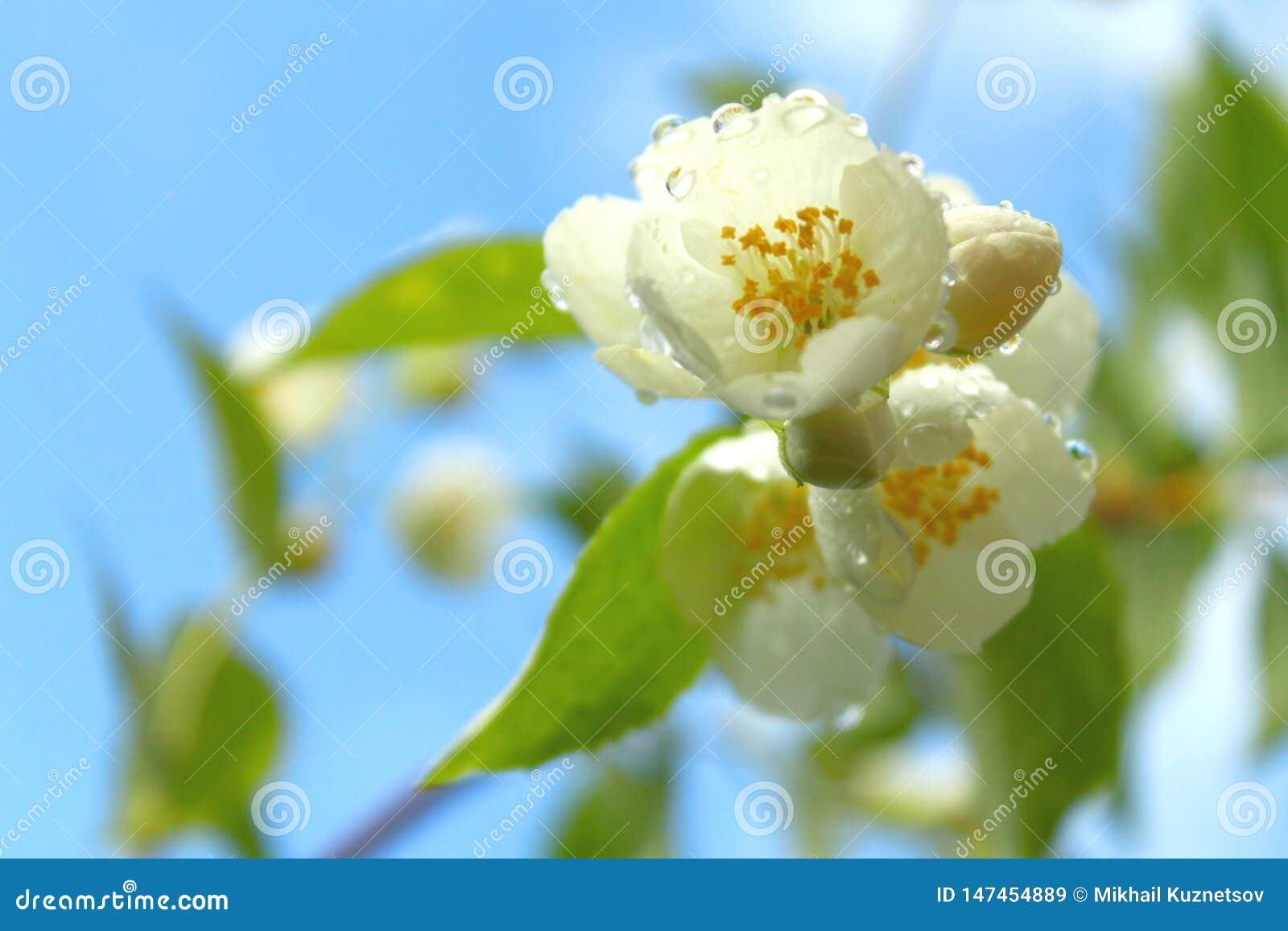 Witte bloemen van bloeiende kers of appelboom met waterdalingen