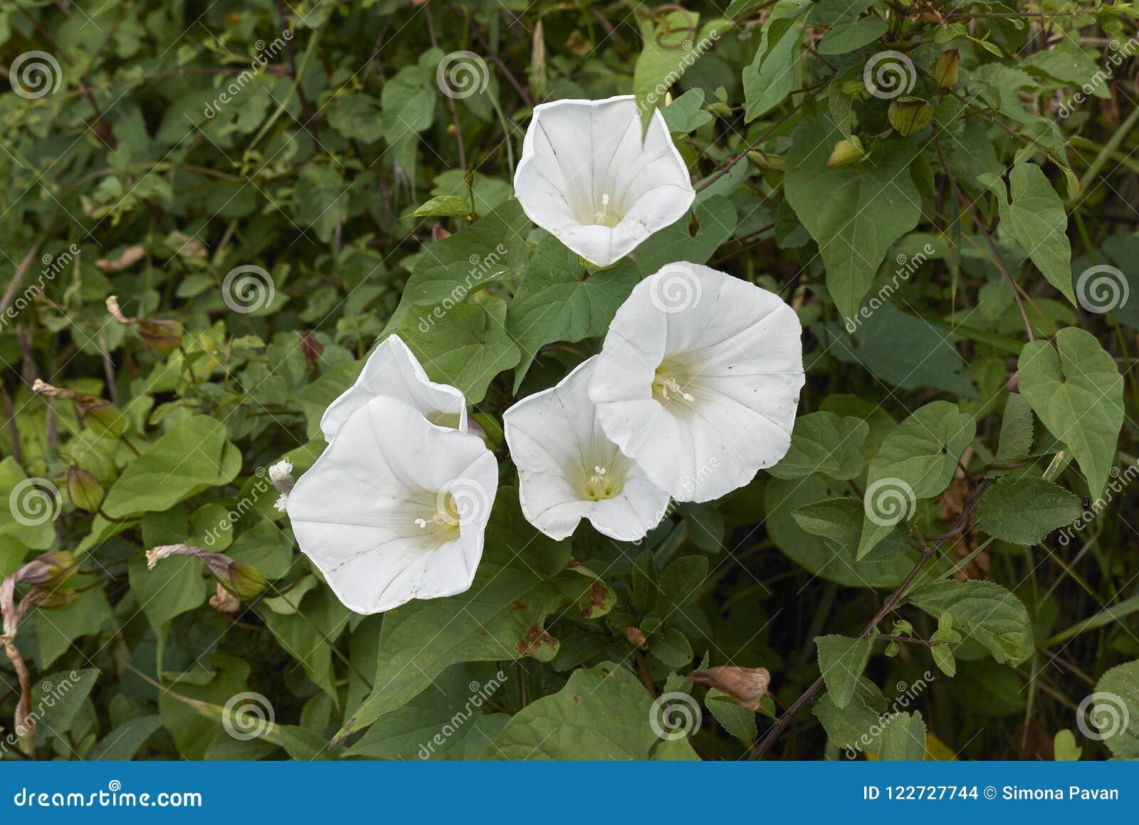 Witte bloemen van Calystegia-silvaticainstallaties