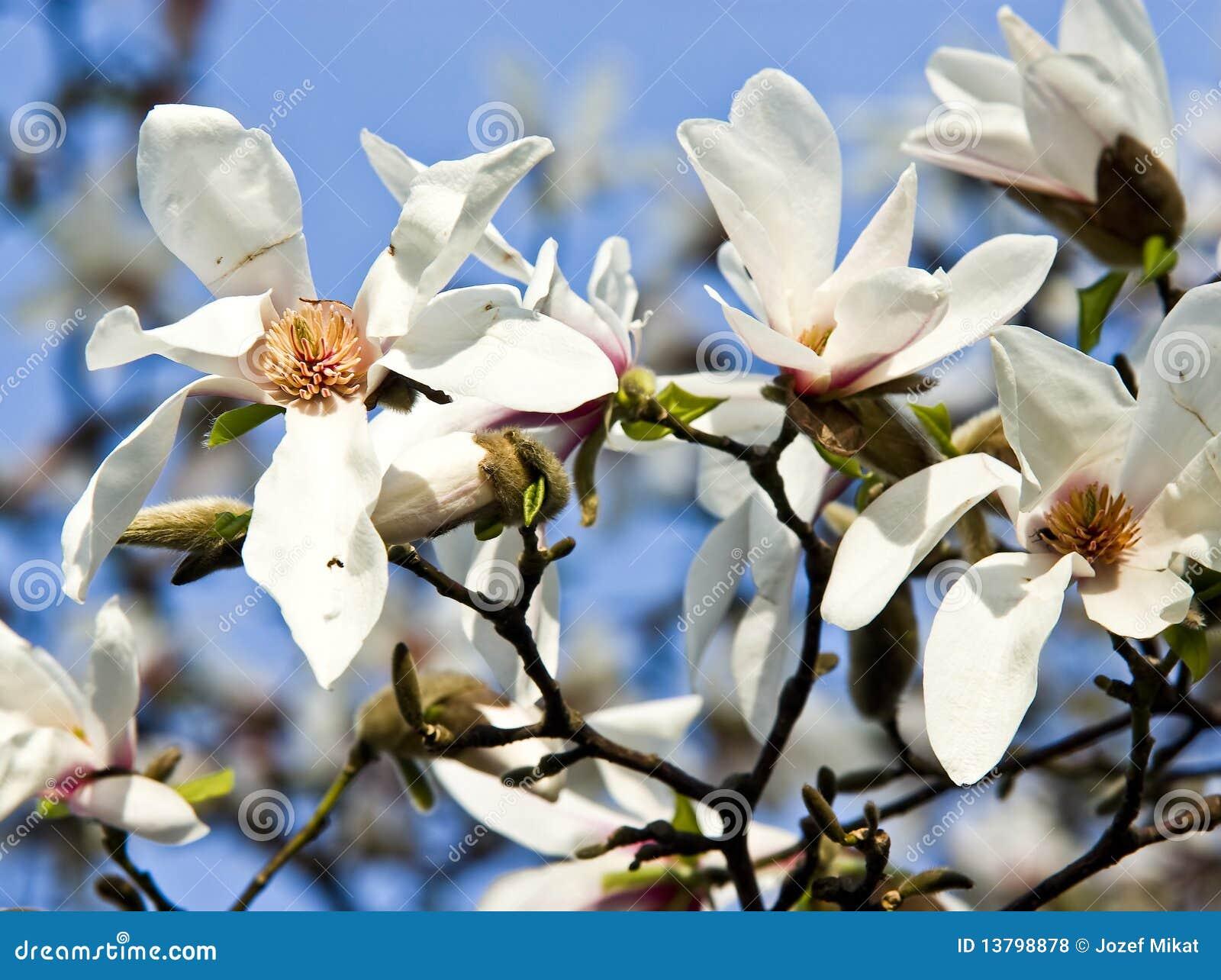Witte Bloemen Van Magnolia Royalty-vrije Stock Fotos - Afbeelding ...