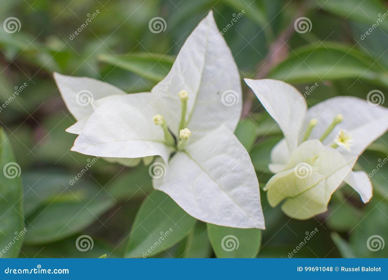 Witte Bougainvillea