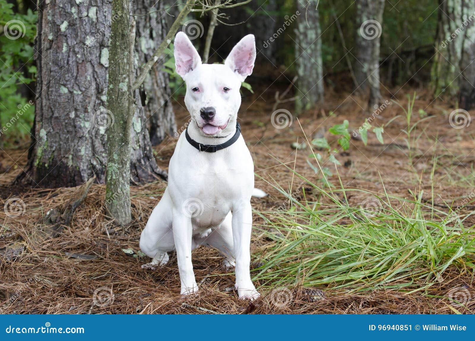 Witte bull terrier-hond