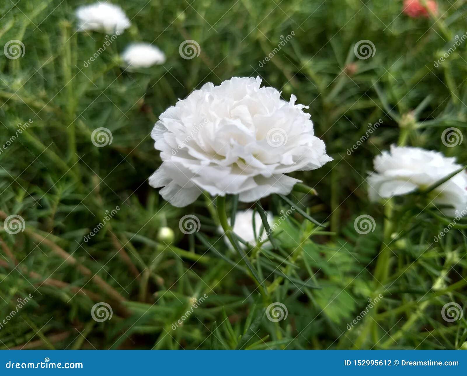 Witte bureaubloemen in de tuin