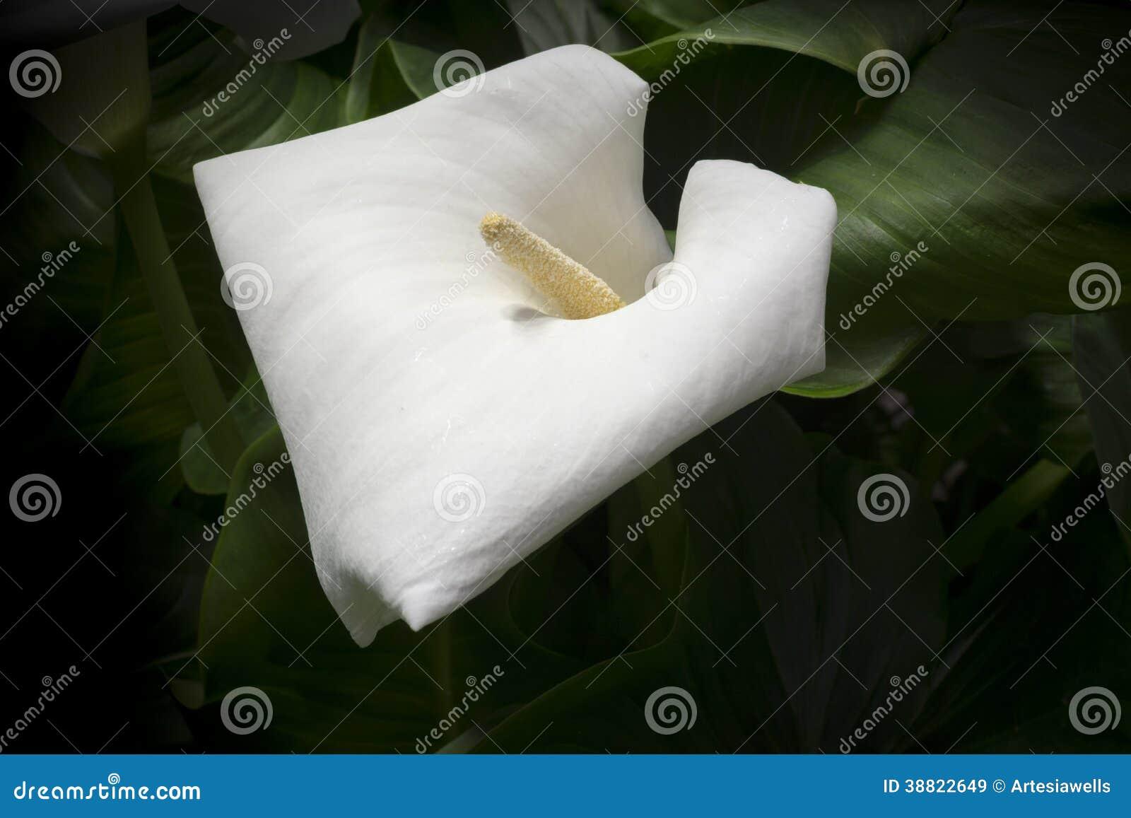 Witte Calla Lelie Stock Afbeelding Afbeelding Bestaande Uit