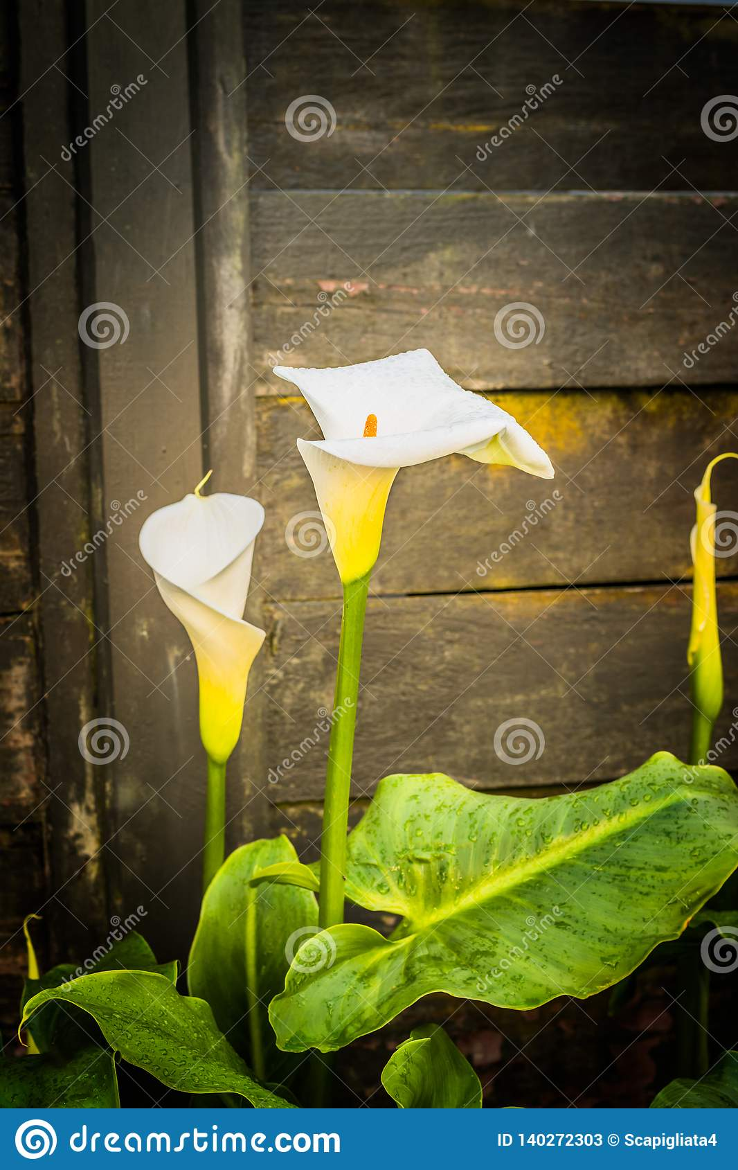 Witte Calla Leliebloemen op rustieke houten achtergrond