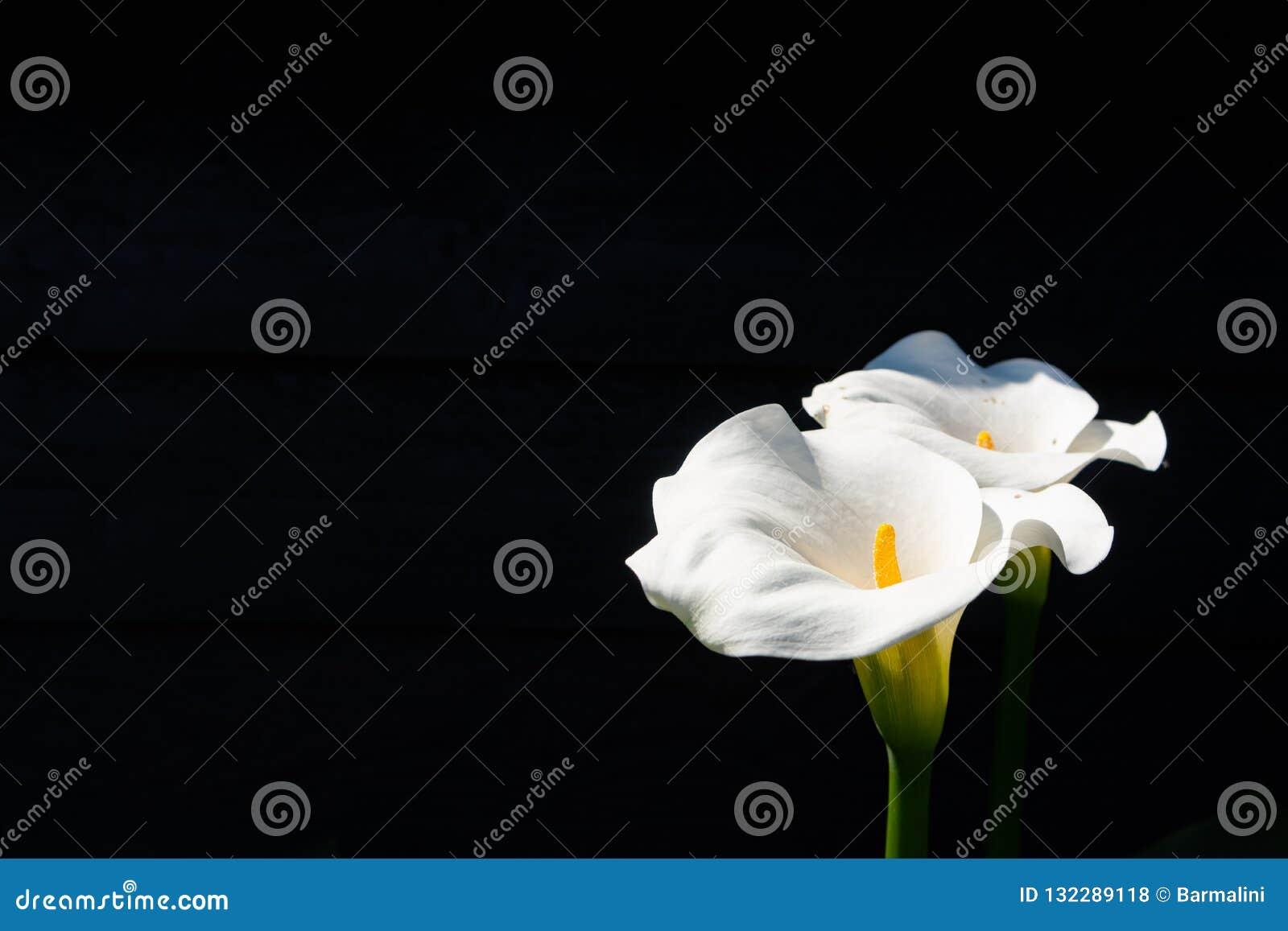 Witte calla lelieinstallatie met bloemen op zwarte achtergrond, donker KE
