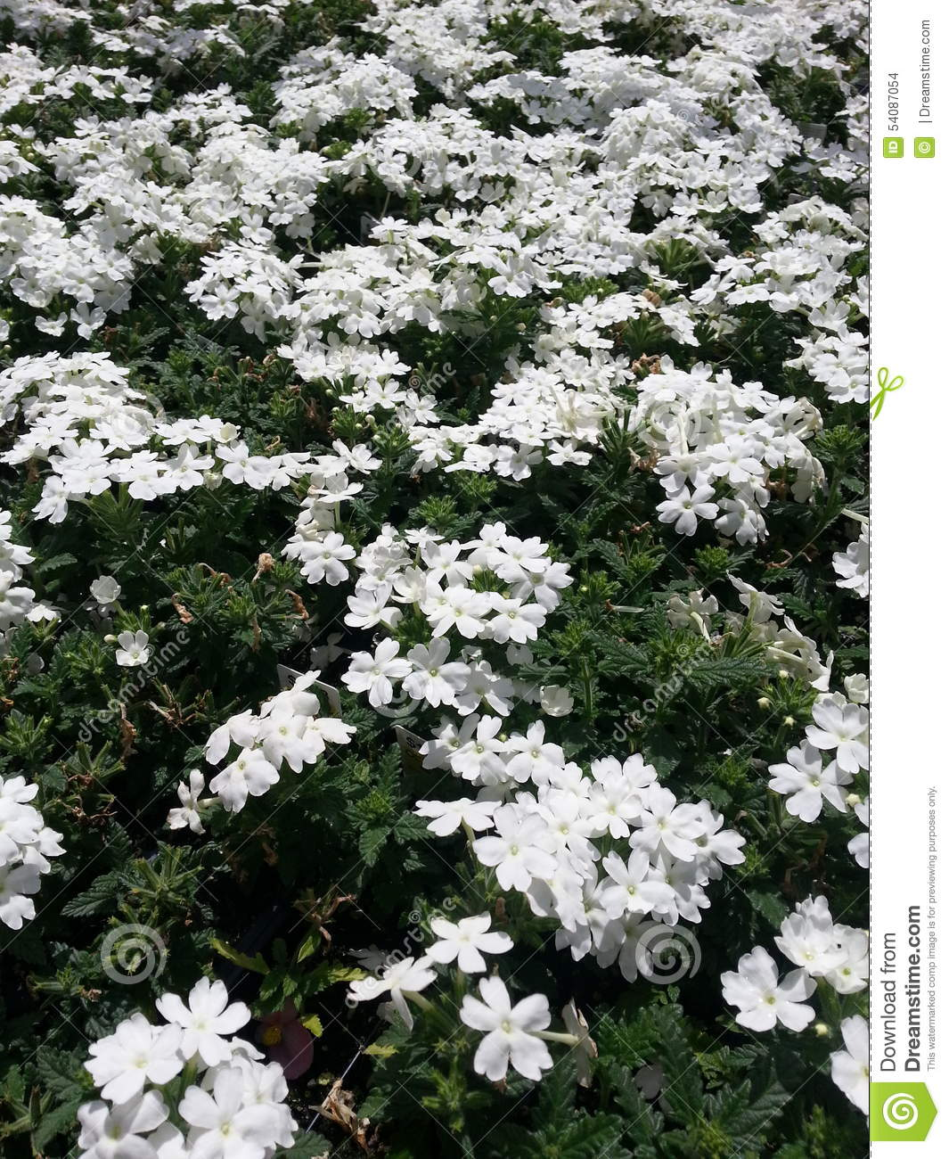Witte Candytuft
