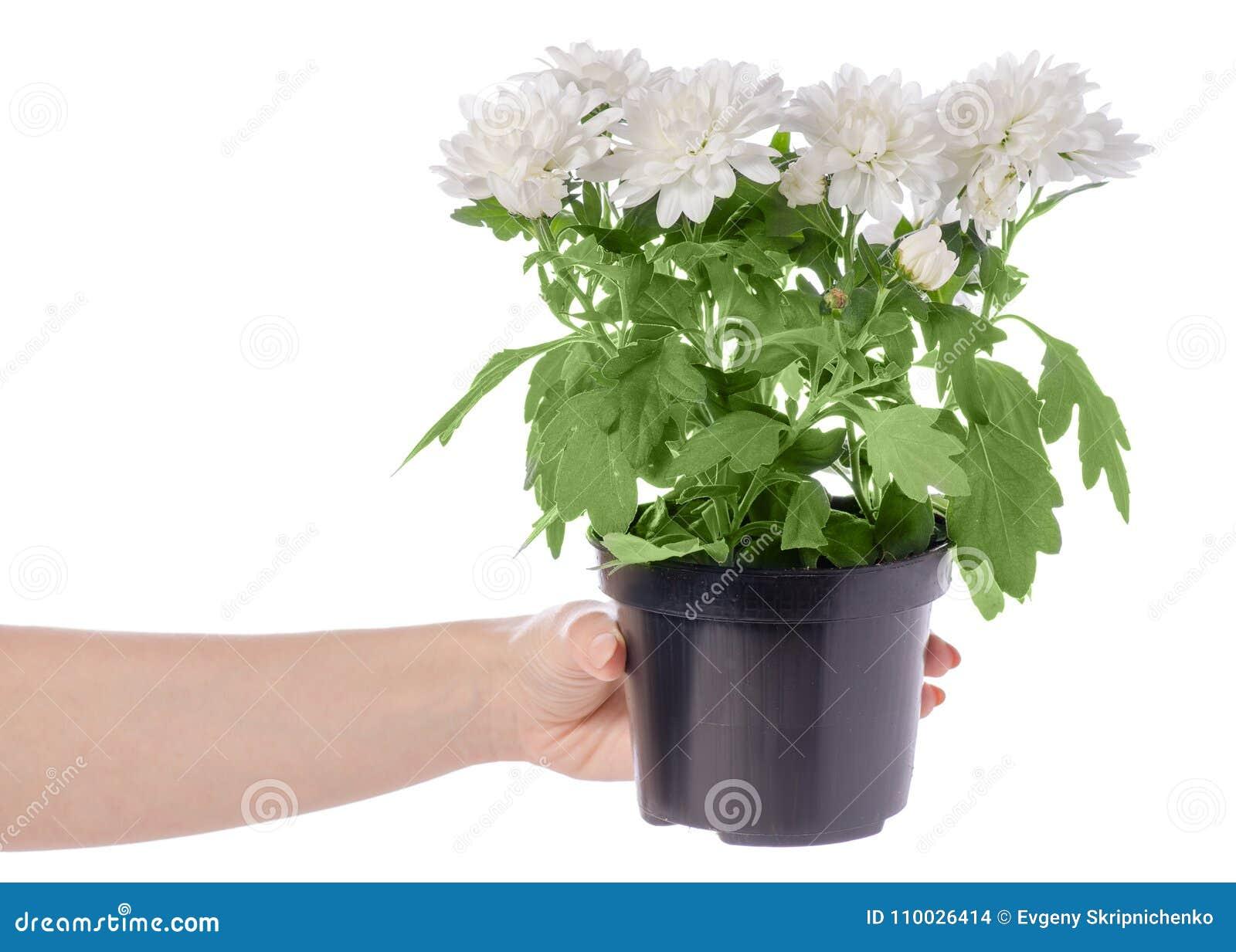 Witte chrysant in een pot ter beschikking