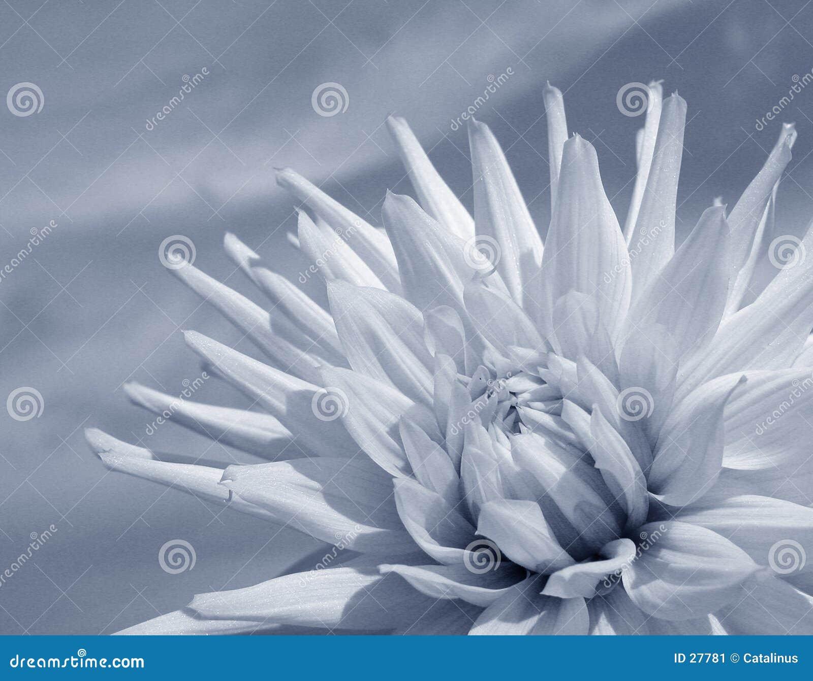 Witte Dahlia (duotone)
