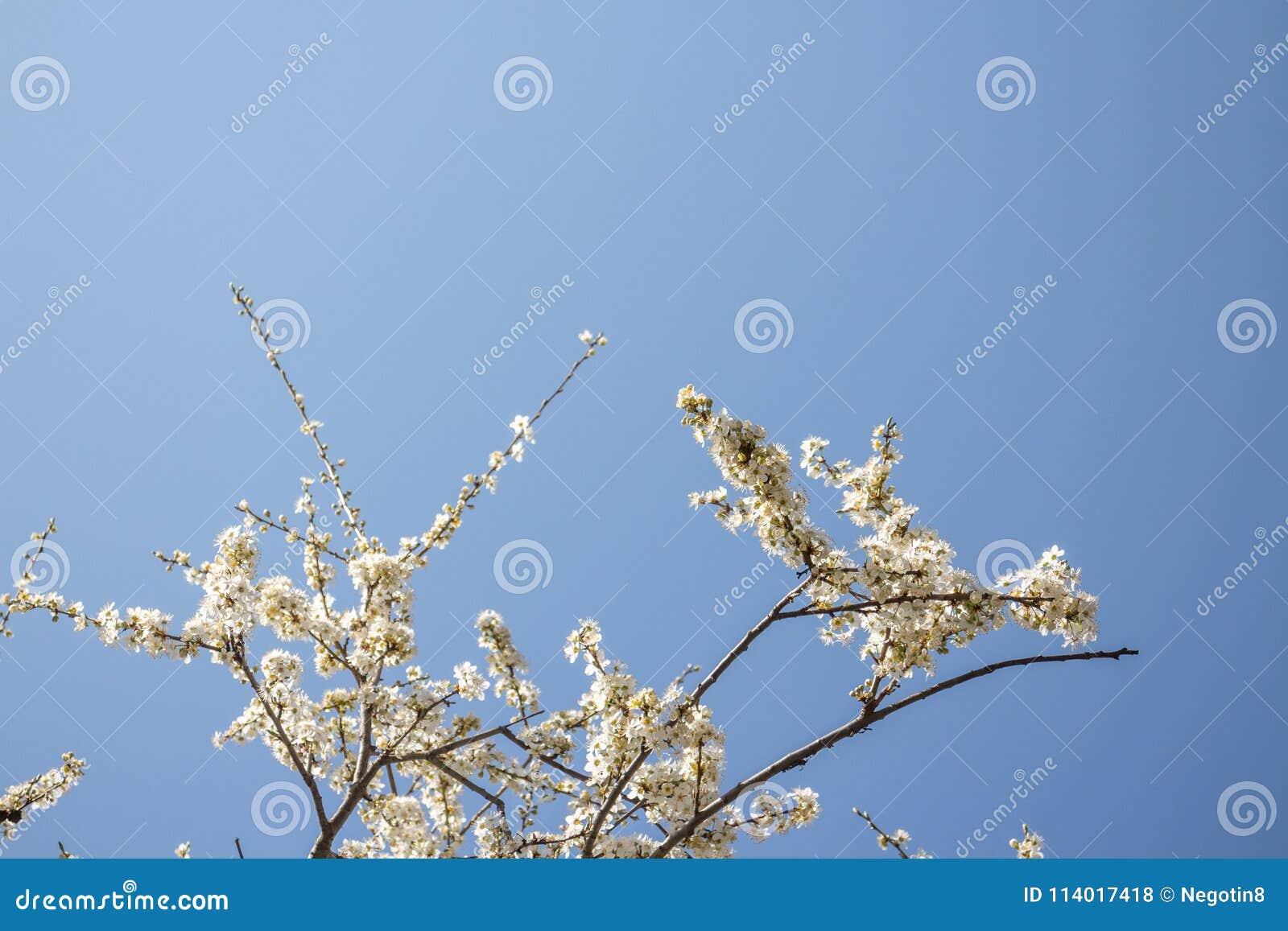 Witte de lentebloesem