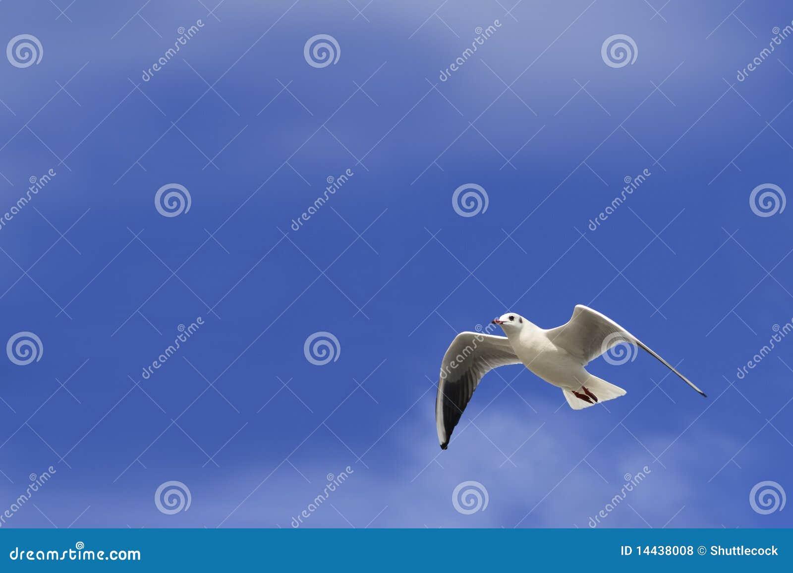 Witte duif blauwe hemel