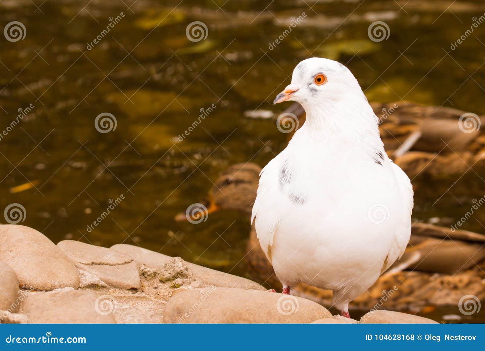 Download Witte Duif Op Een Achtergrond Van Het Drijven Eenden Stock Foto - Afbeelding bestaande uit kijk, vijver: 104628168