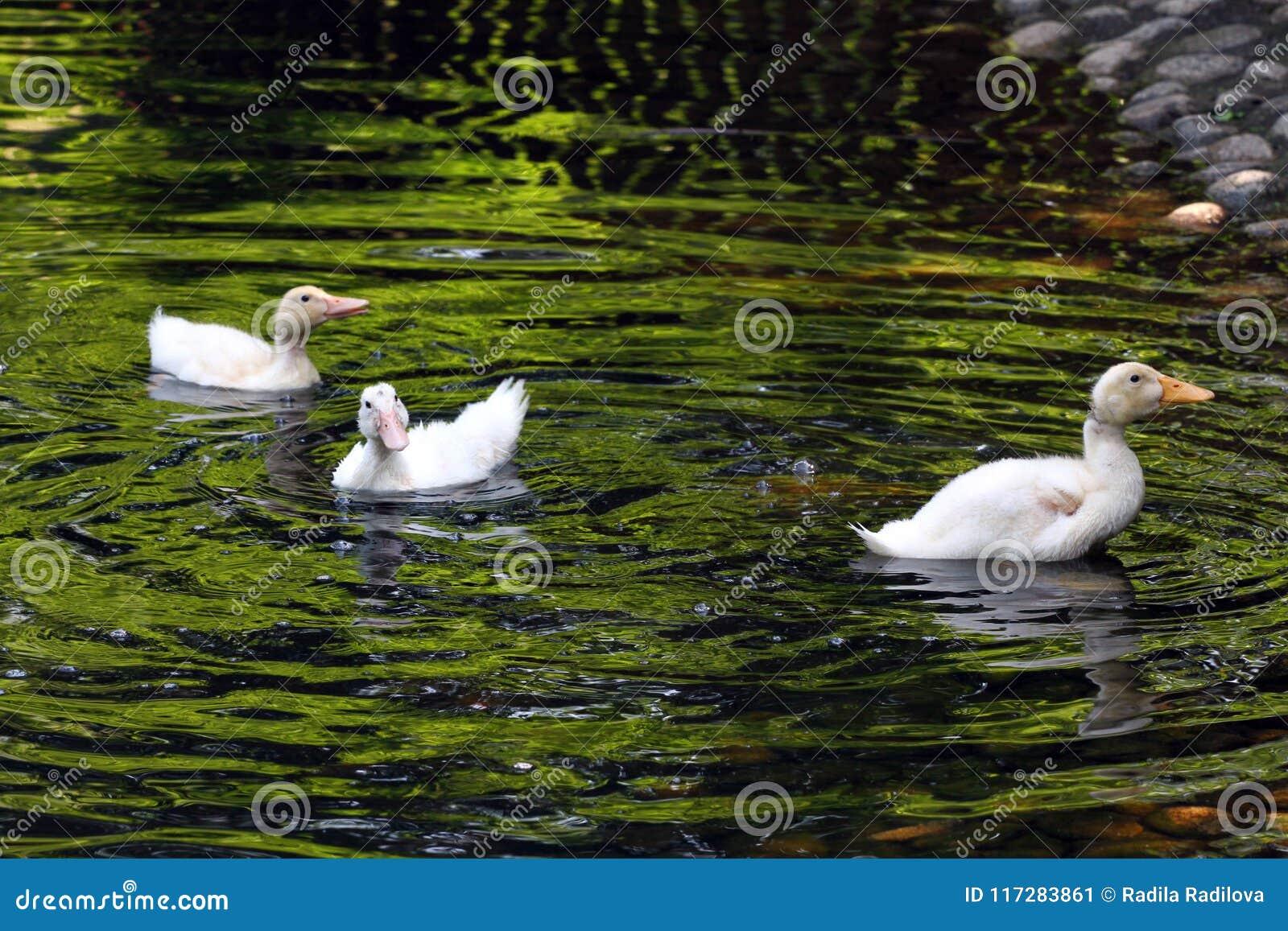 Witte Eend De leuke Eend van de Baby Jonge witte eenden die in het water in het meer zwemmen De eendjes zwemmen in de vijver Baby