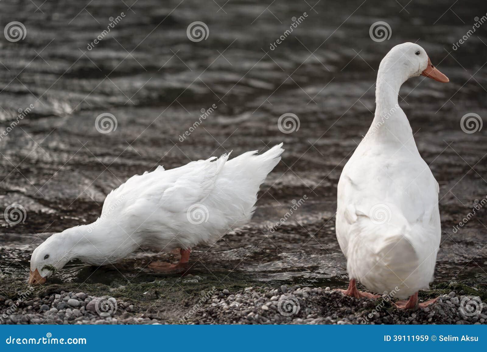 Witte eenden