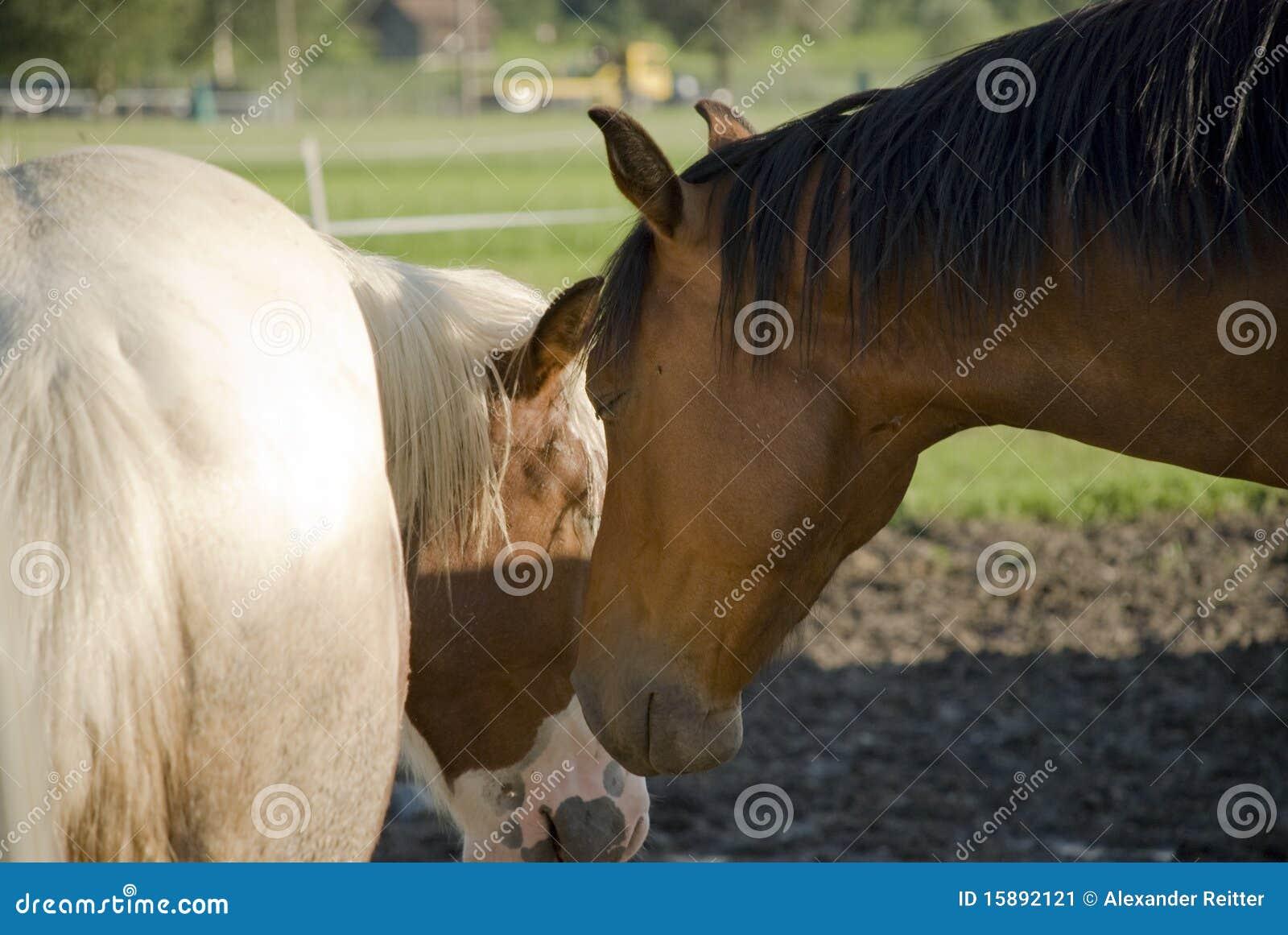 Witte en bruine paarden stock afbeelding afbeelding bestaande uit landbouwbedrijf 15892121 - Witte badkamer en bruin ...