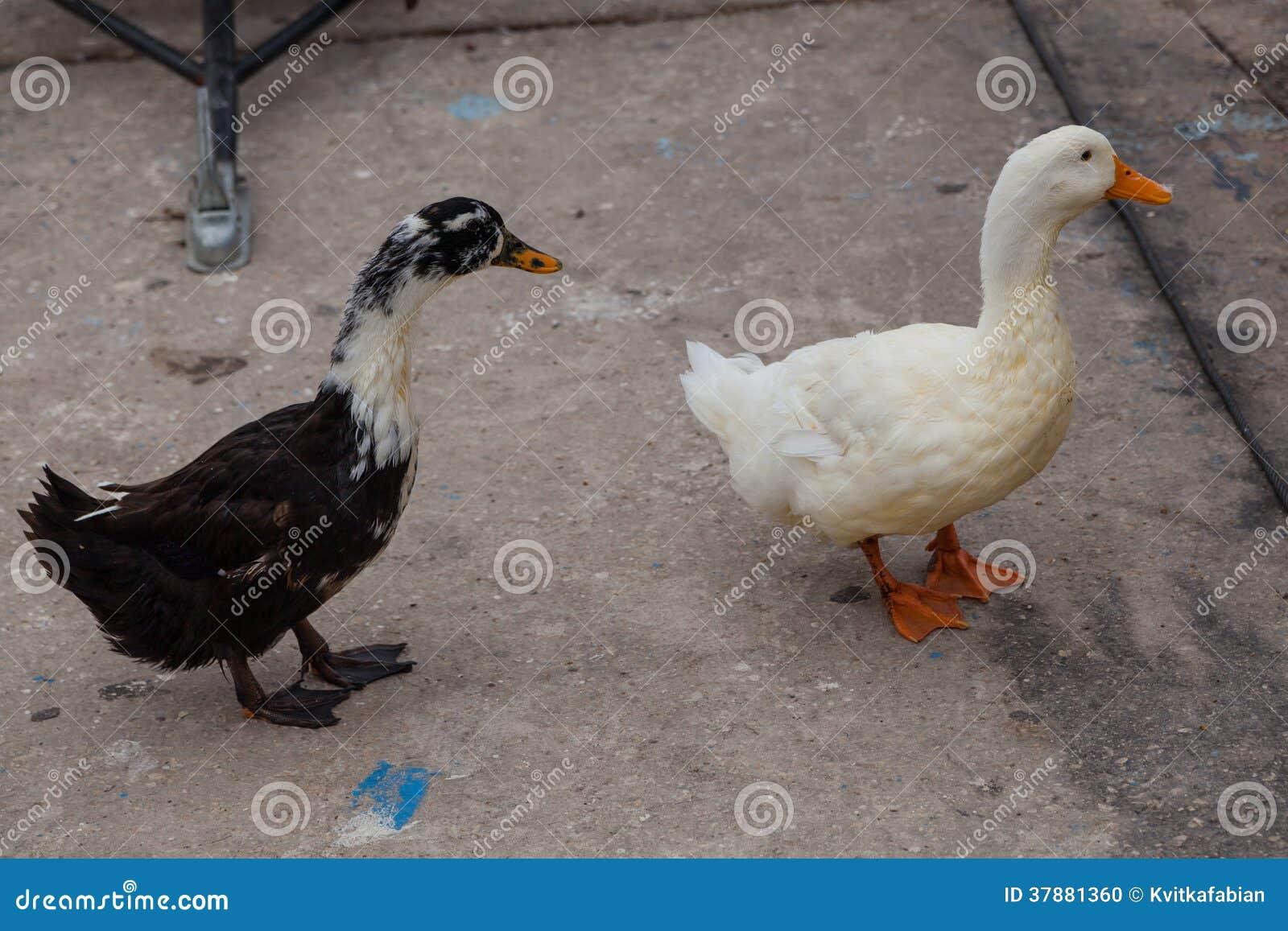Witte en zwarte ganzen op de waterkant dichtbij het water