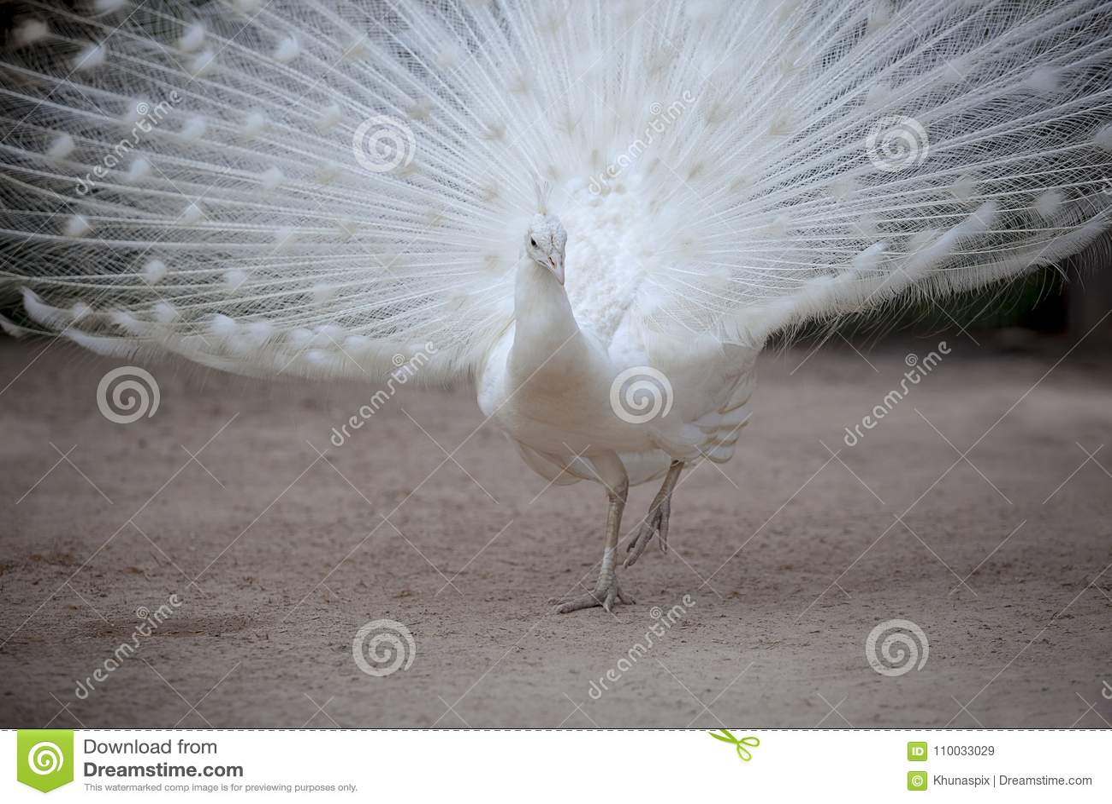 Witte fazant met mooie ventilatorstaart die zich op vuilgebied bevinden