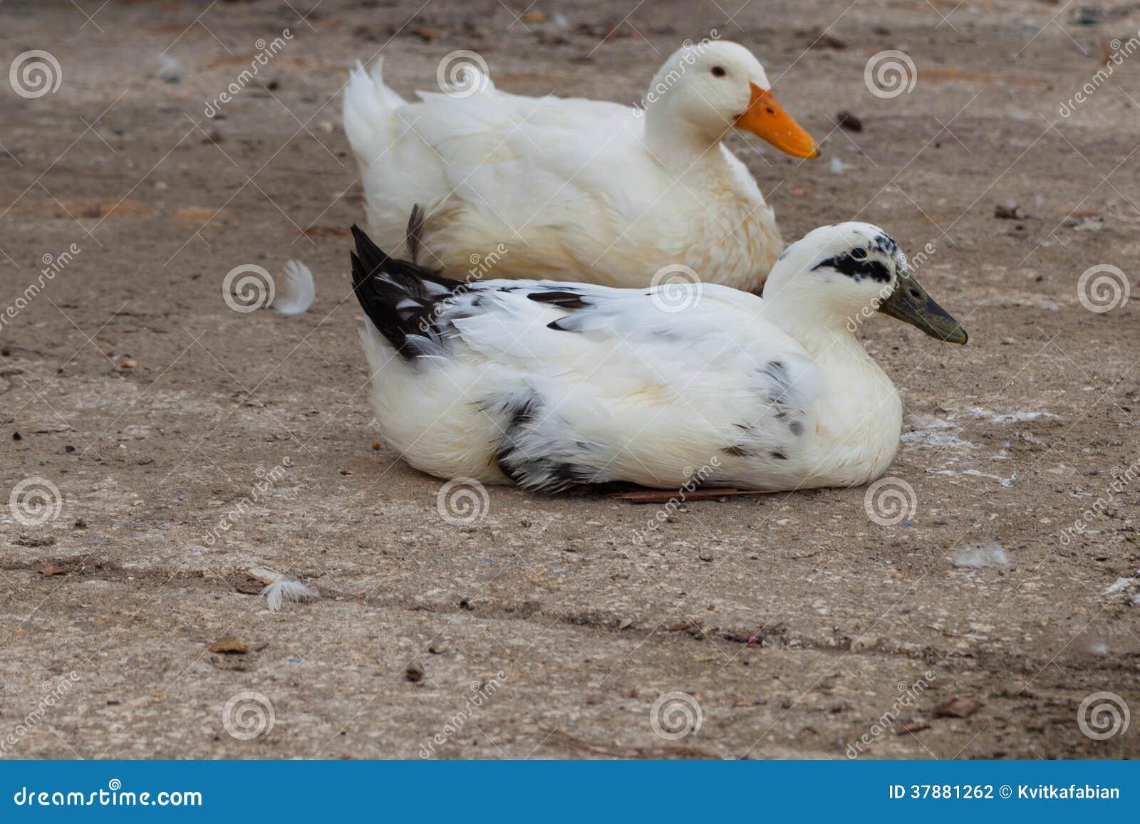 Witte ganzen op de waterkant dichtbij het water