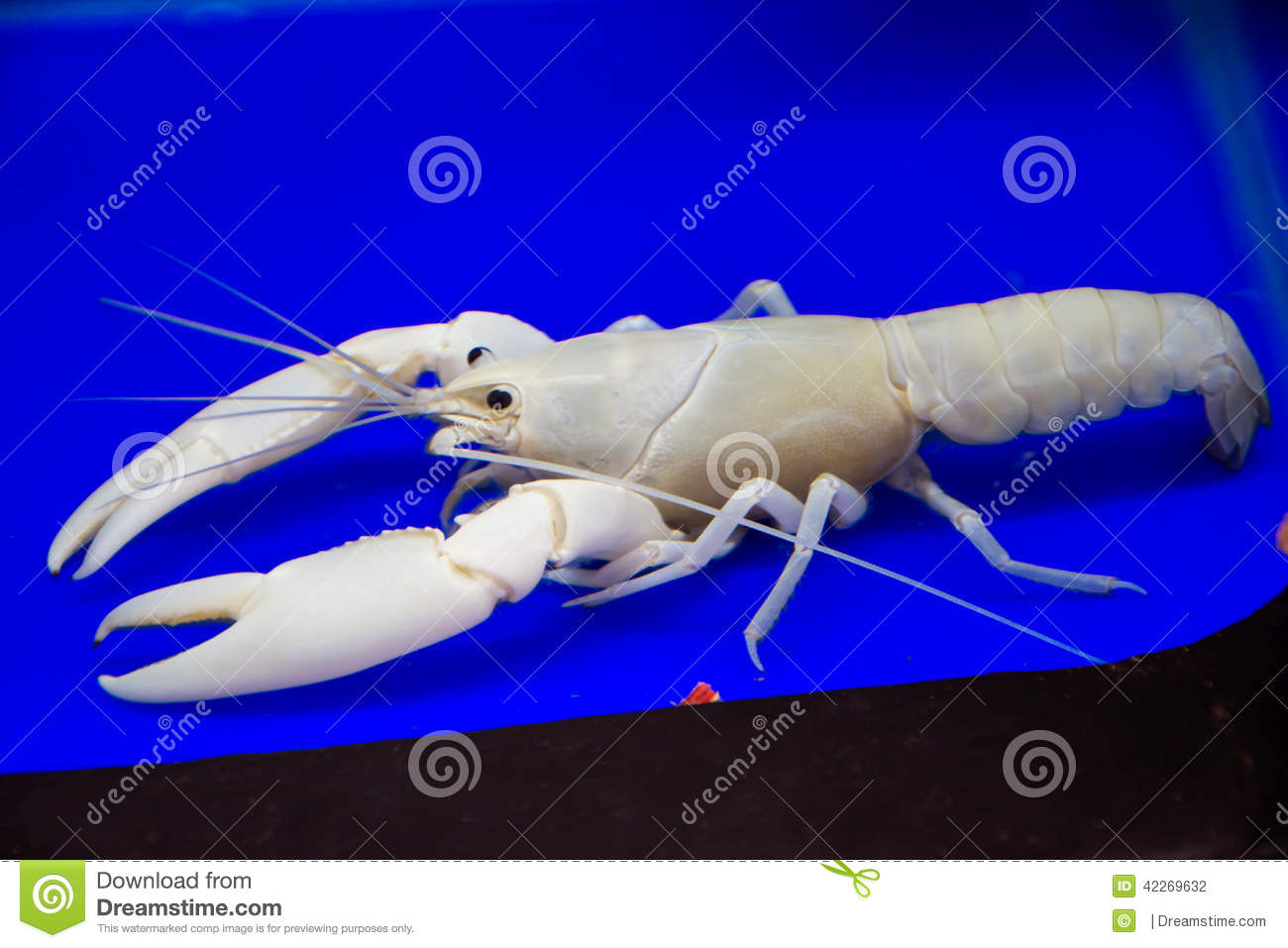Witte Garnalen In Aquarium Stock Foto   Beeld  42269632