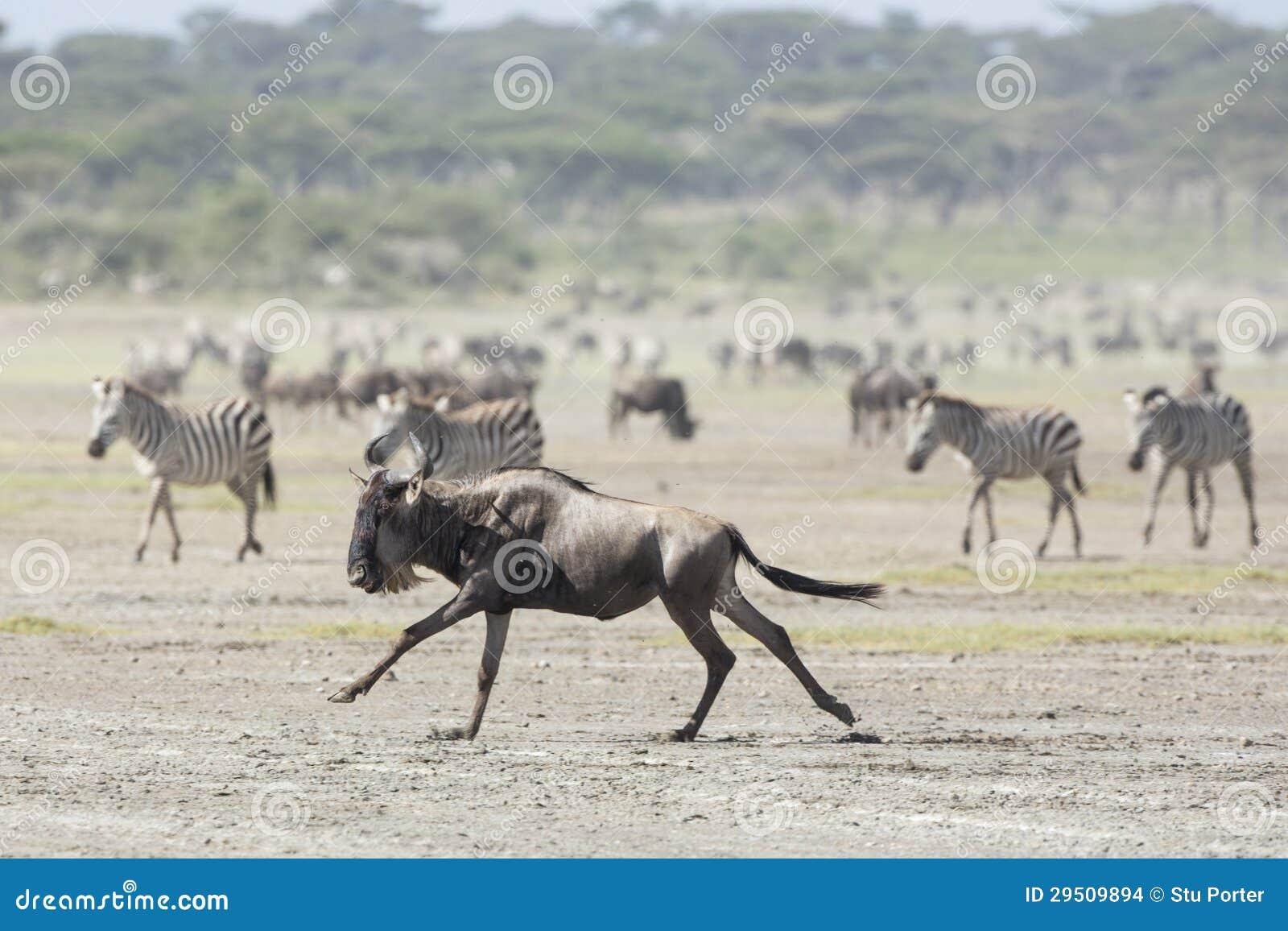 Witte Gebaarde Wildebeest die, Tanzania lopen