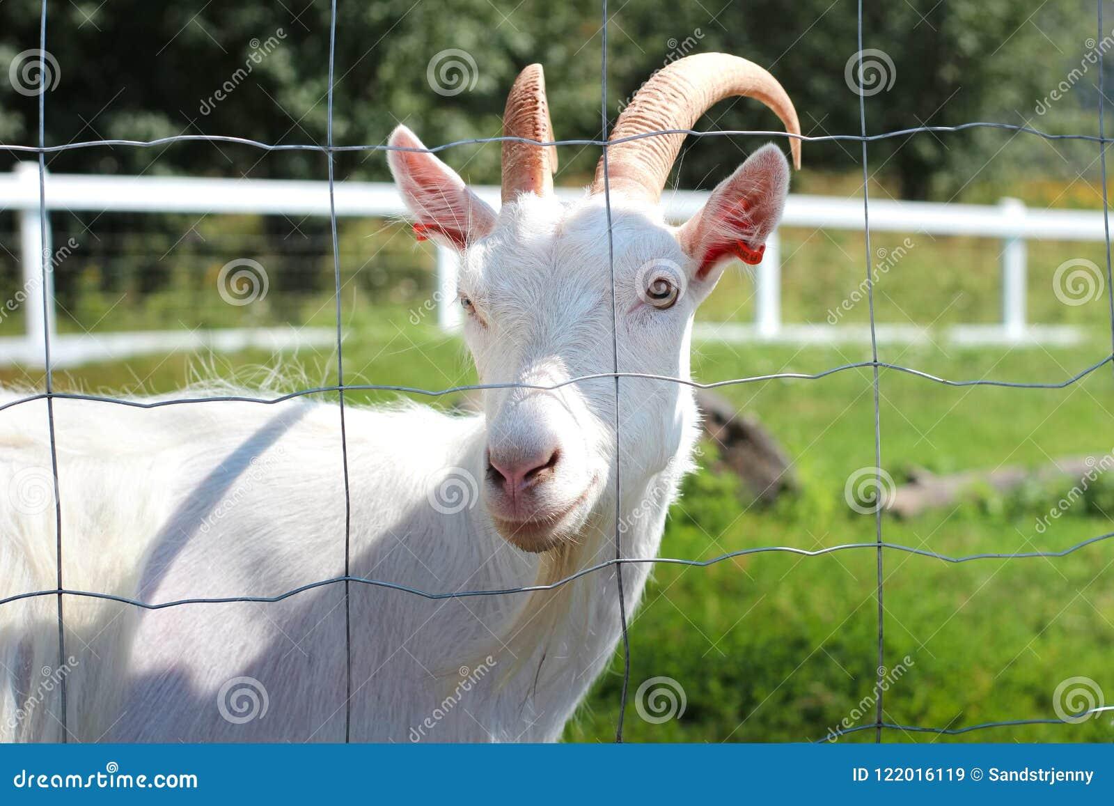 Witte geit die door de omheining kijken