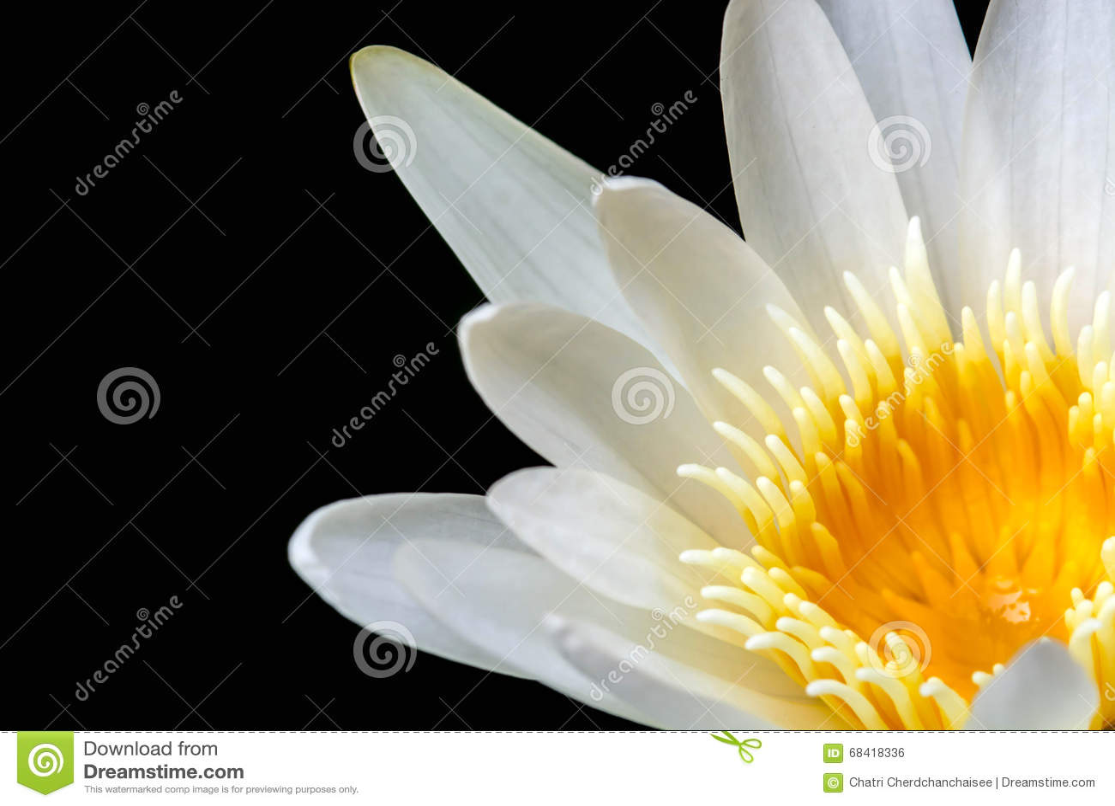 Witte Gele Lotus-bloem op zwarte achtergrond