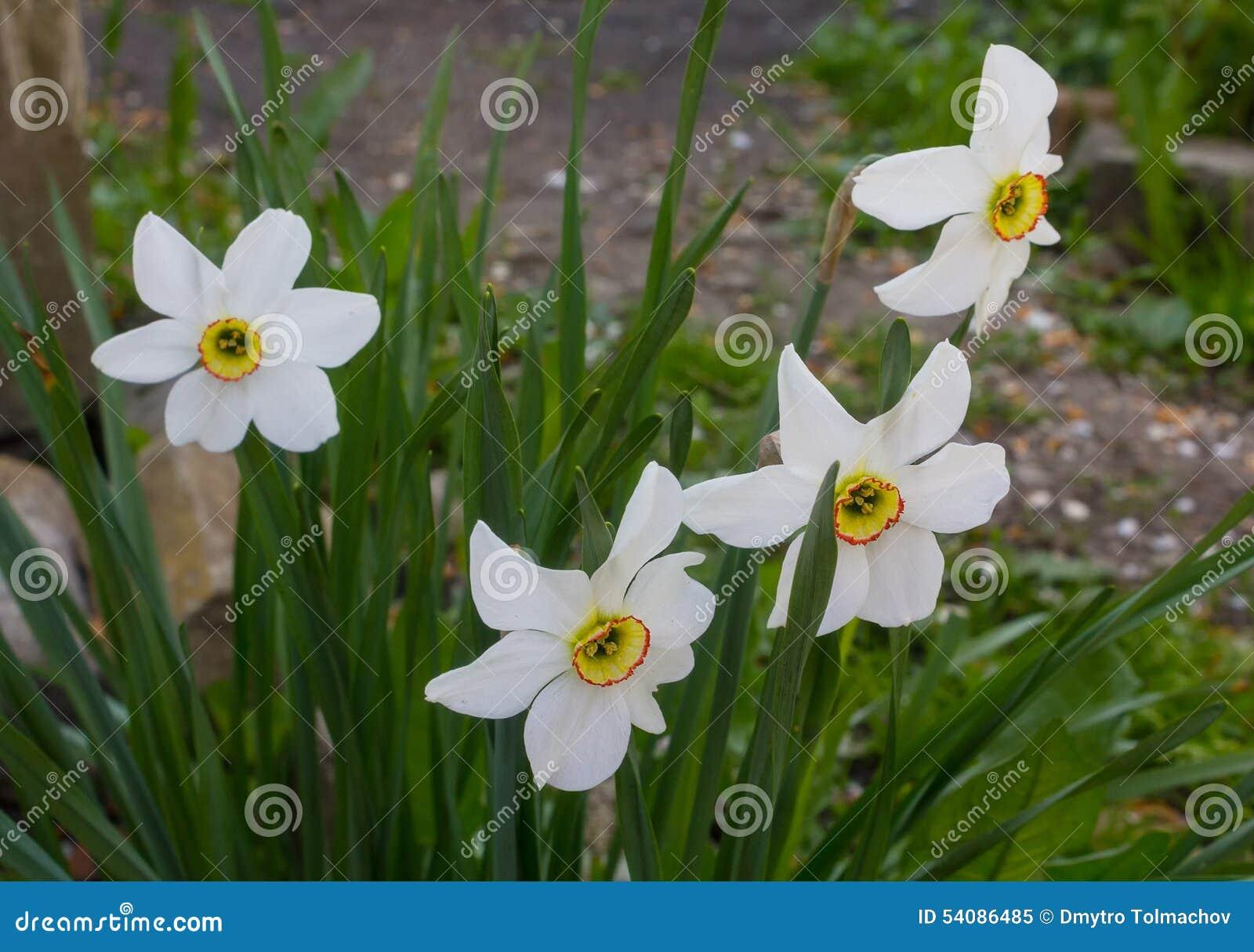 Witte gele narcissen in de tuin