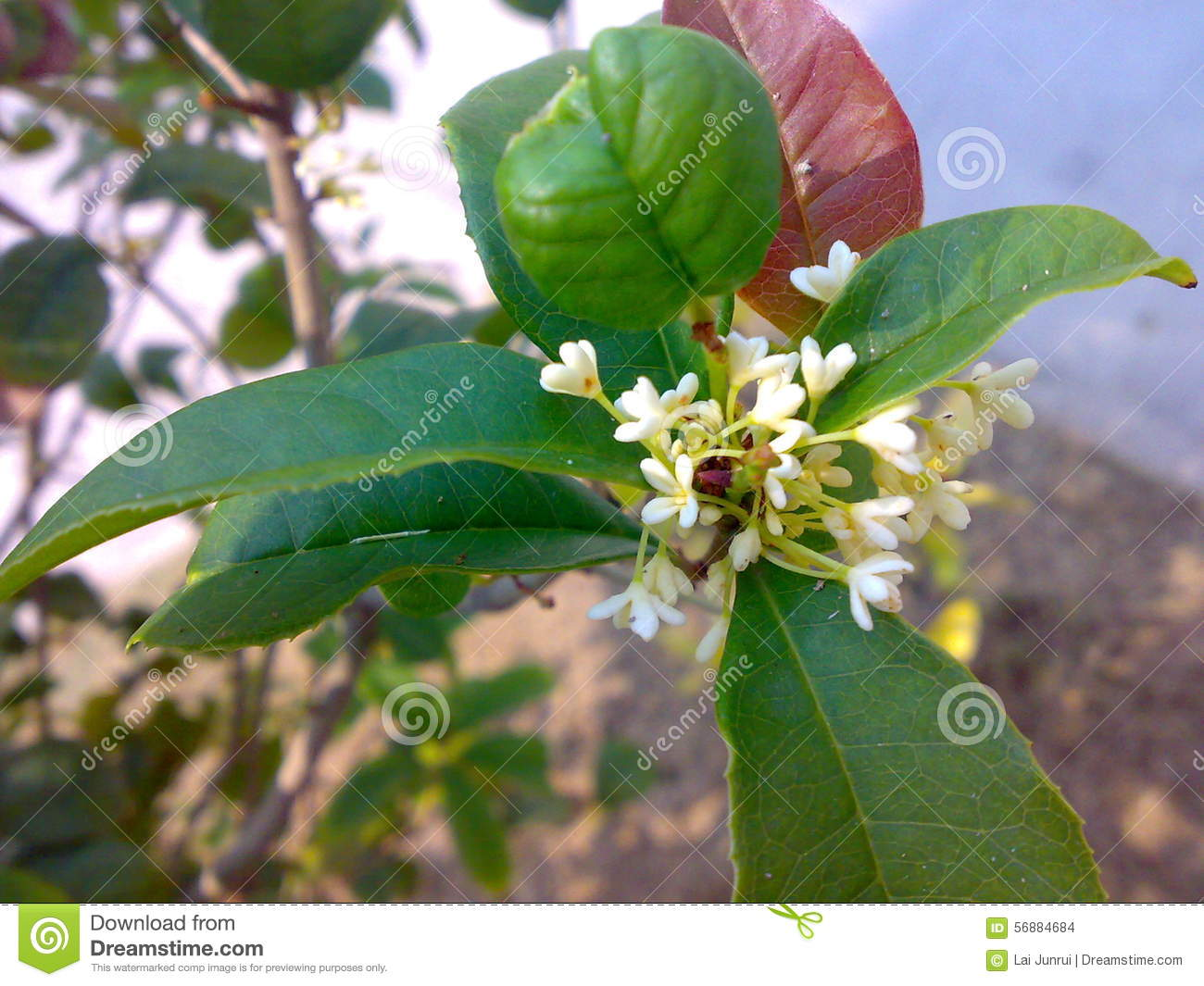 Witte geurige osmanthus