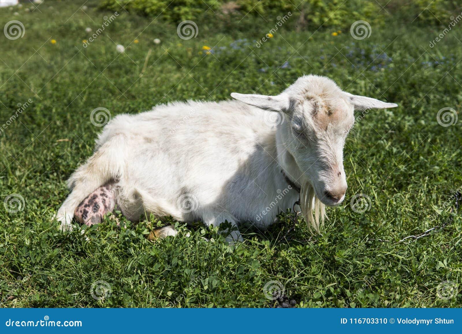 Witte grappige geit op een ketting met een lange baard die op groen weilandgebied weiden in een zonnige dag farming Oekraïense ge