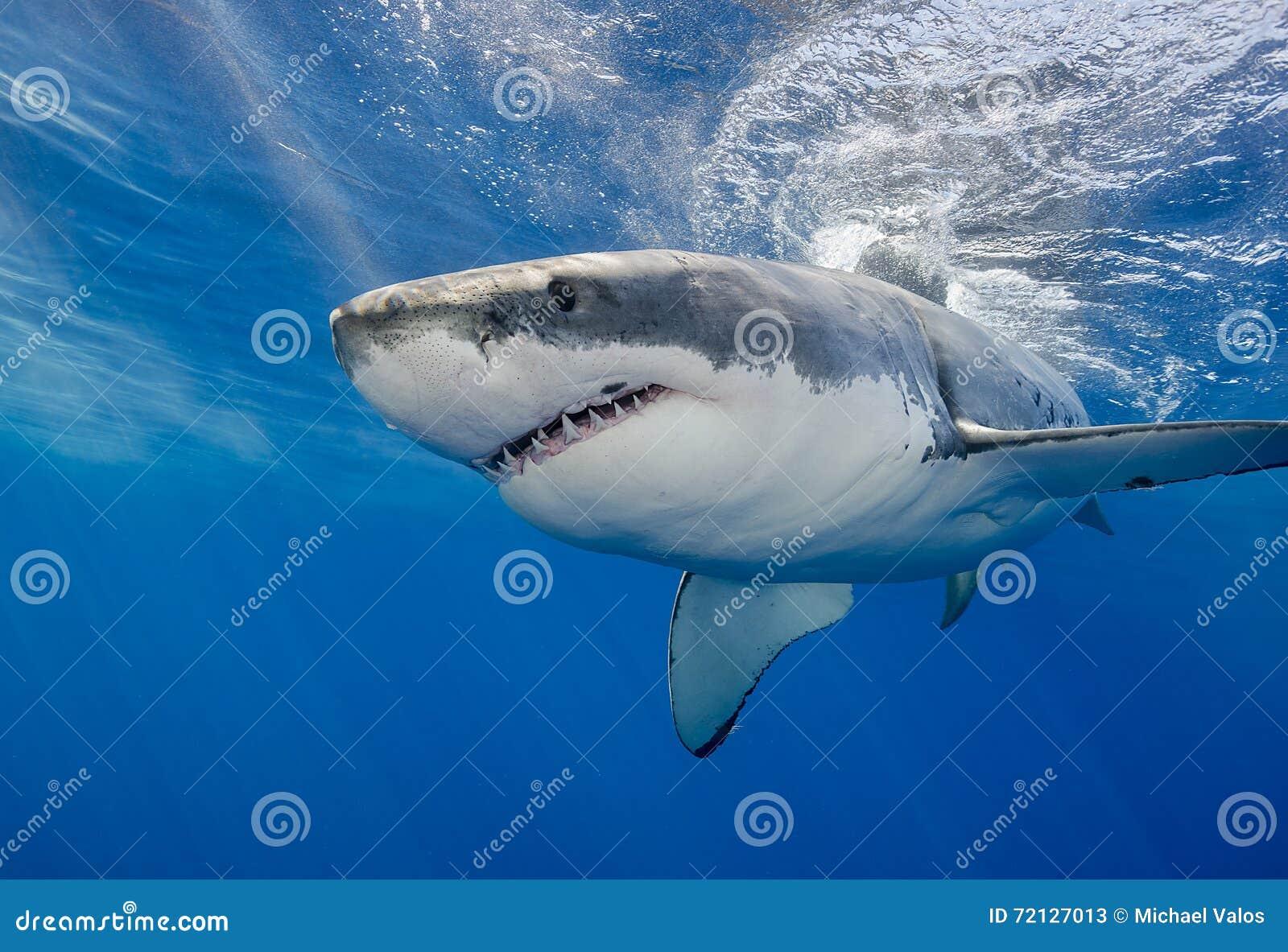 517087b1ea8682 Sluit omhoog mening van een grote witte haai die dichtbij de oppervlakte,  Guadalupe Island Mexico zwemmen