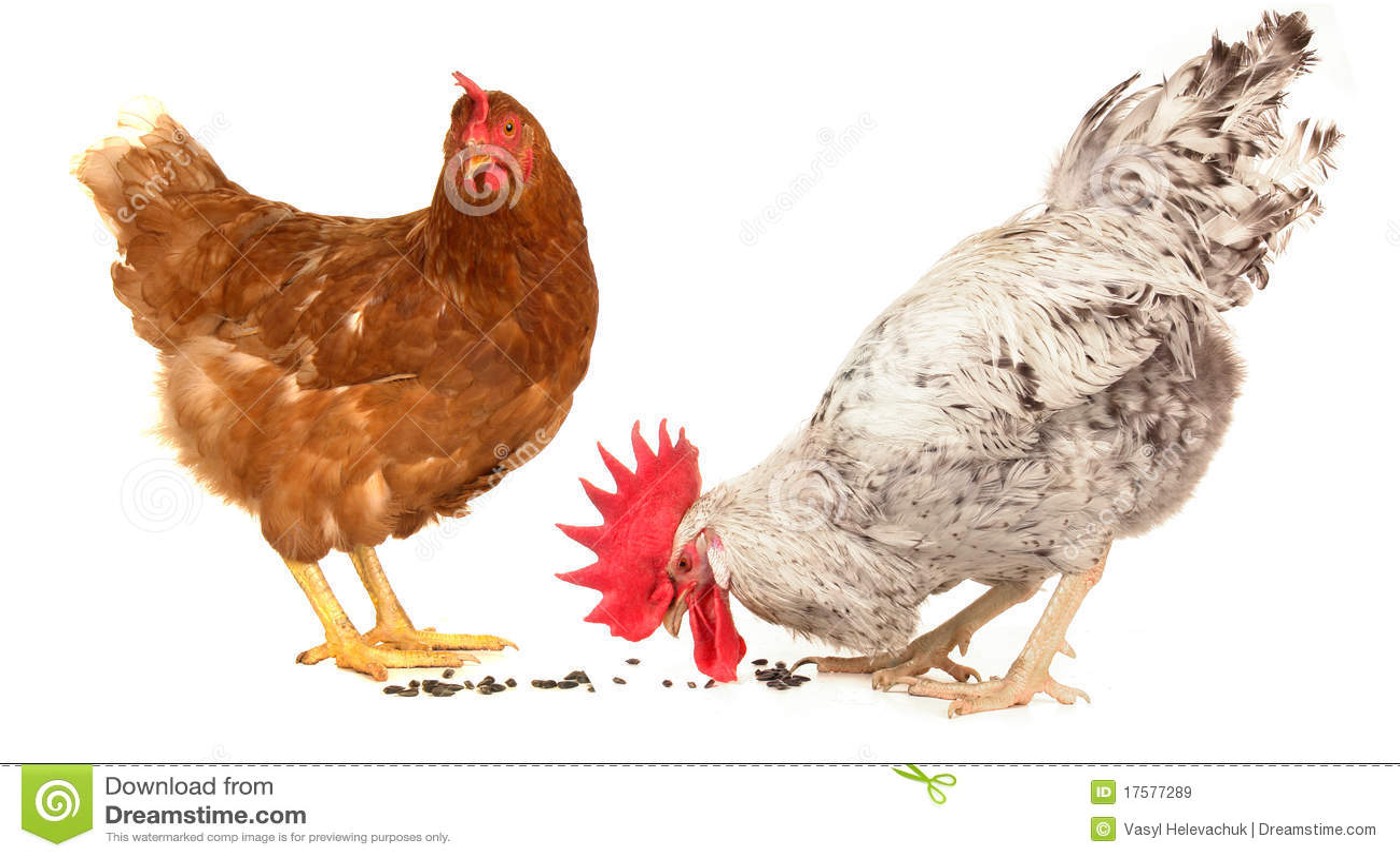 Witte haan en bruine kip stock afbeelding afbeelding bestaande uit kleur 17577289 - Witte badkamer en bruin ...